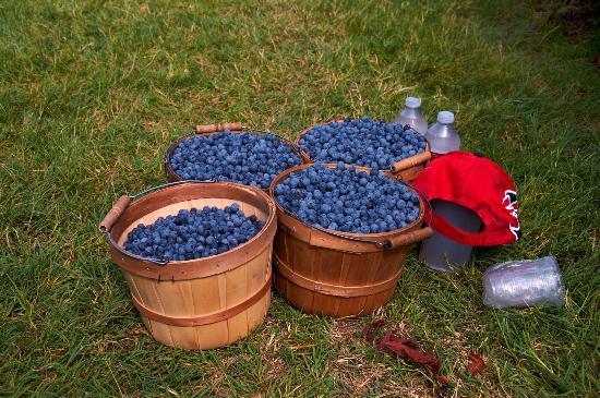 Blueberry picking -
