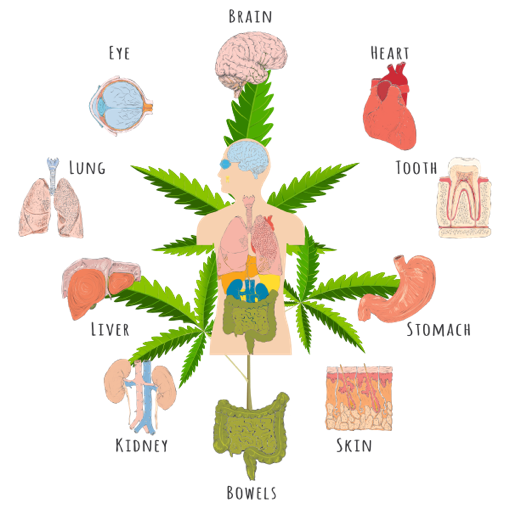 Endocannabinoid - These special molecules naturally produced in the human body that are closely related to proper functioning of the immune system and nervous system. They are mimicked by the cannabinoids found in the cannabis plant, serving to enhance, or improve upon, the body's own ability to maintain homeostasis (balance) and health.