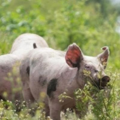 Blythburgh pigs