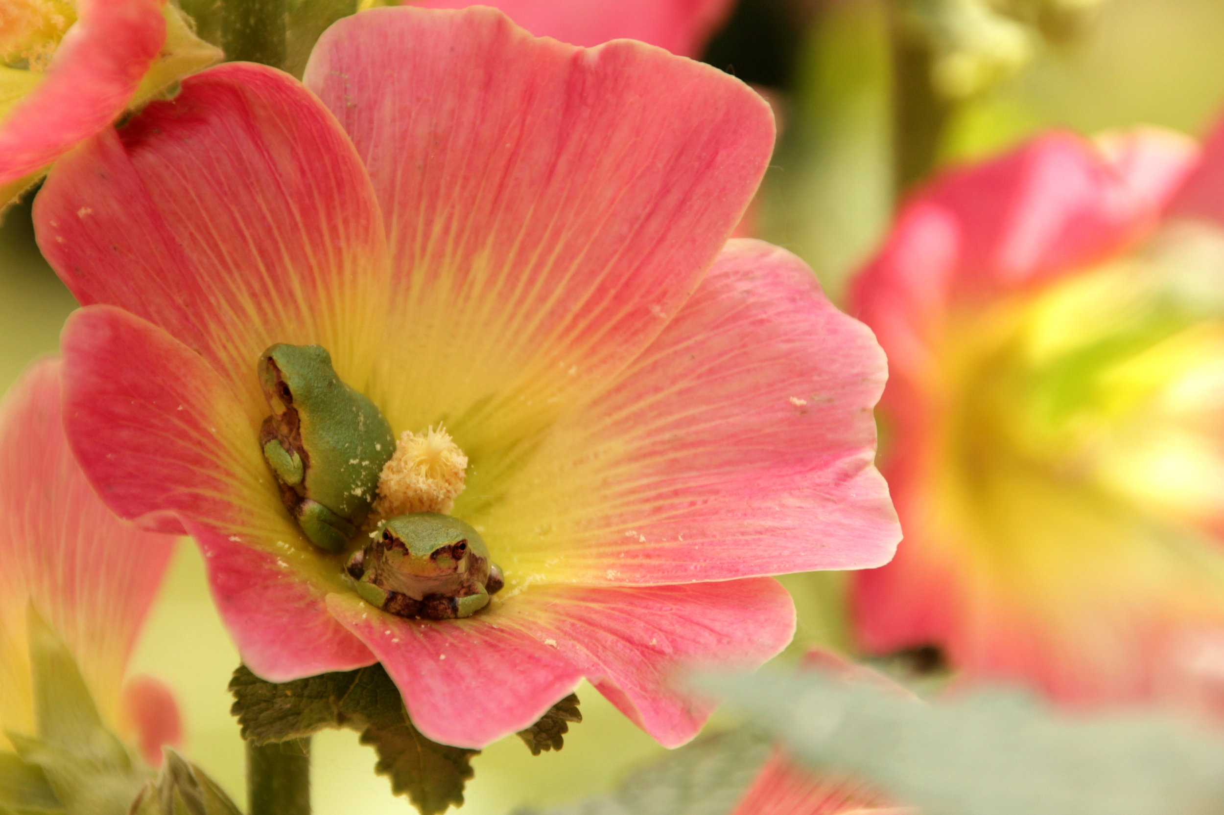 Tree Frogs sitting in Hollyhock