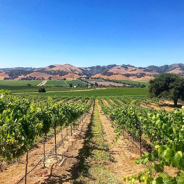 Ripen up, little grapes! . . . #clockspring #vines #cabernetsauvignon #winelover #zeila #winecountry #vineyard #makingwineco #amadorwine #sierrafoothills #tempranillo #petitesirah #zinfandel #instawine
