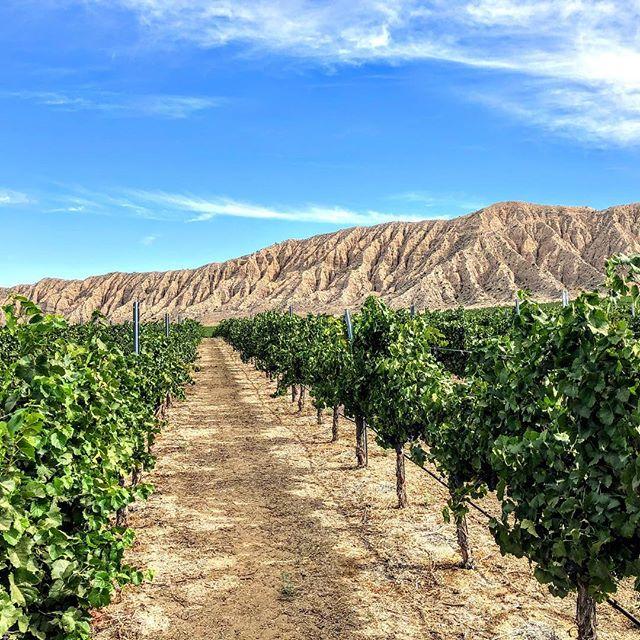 Harvest Saturday's... . . . #zeila #amadorwine #makingwineco #clockspring #vineyard #vines #winelover #wine #tempranillo #sierrafoothills #zinfandel #petitesirah #cabernetsauvignon