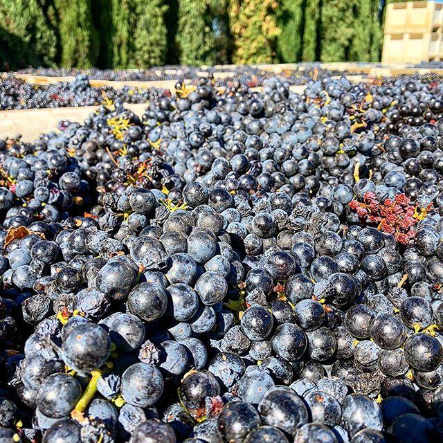 This Zinfandel is tasting fantastic - looking like a vintage for the ages! 🍇 🍇 🍇 🍇 #zeila #amadorwine #zinfandel #cabernet #clockspring #makingwineco #petitesirah #winelover #harvest #grapes #vineyards #vines #instawine