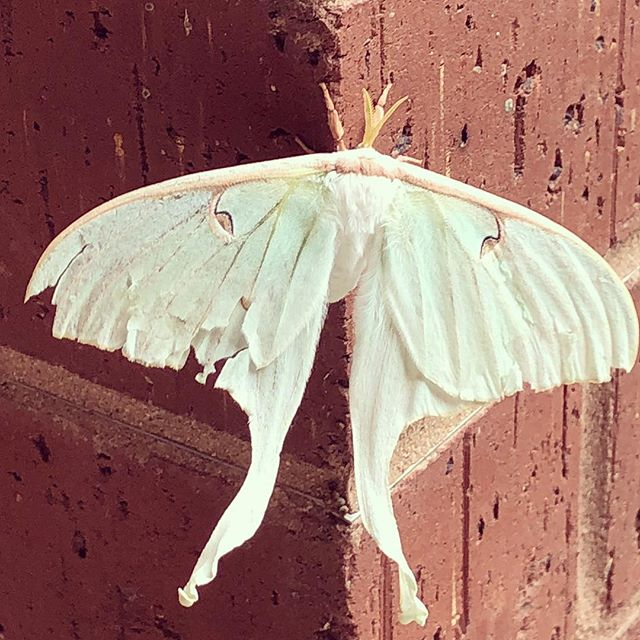 Saw this little guy at work today.... #lunamoth #moths As far as moths go, this one's pretty cool.
