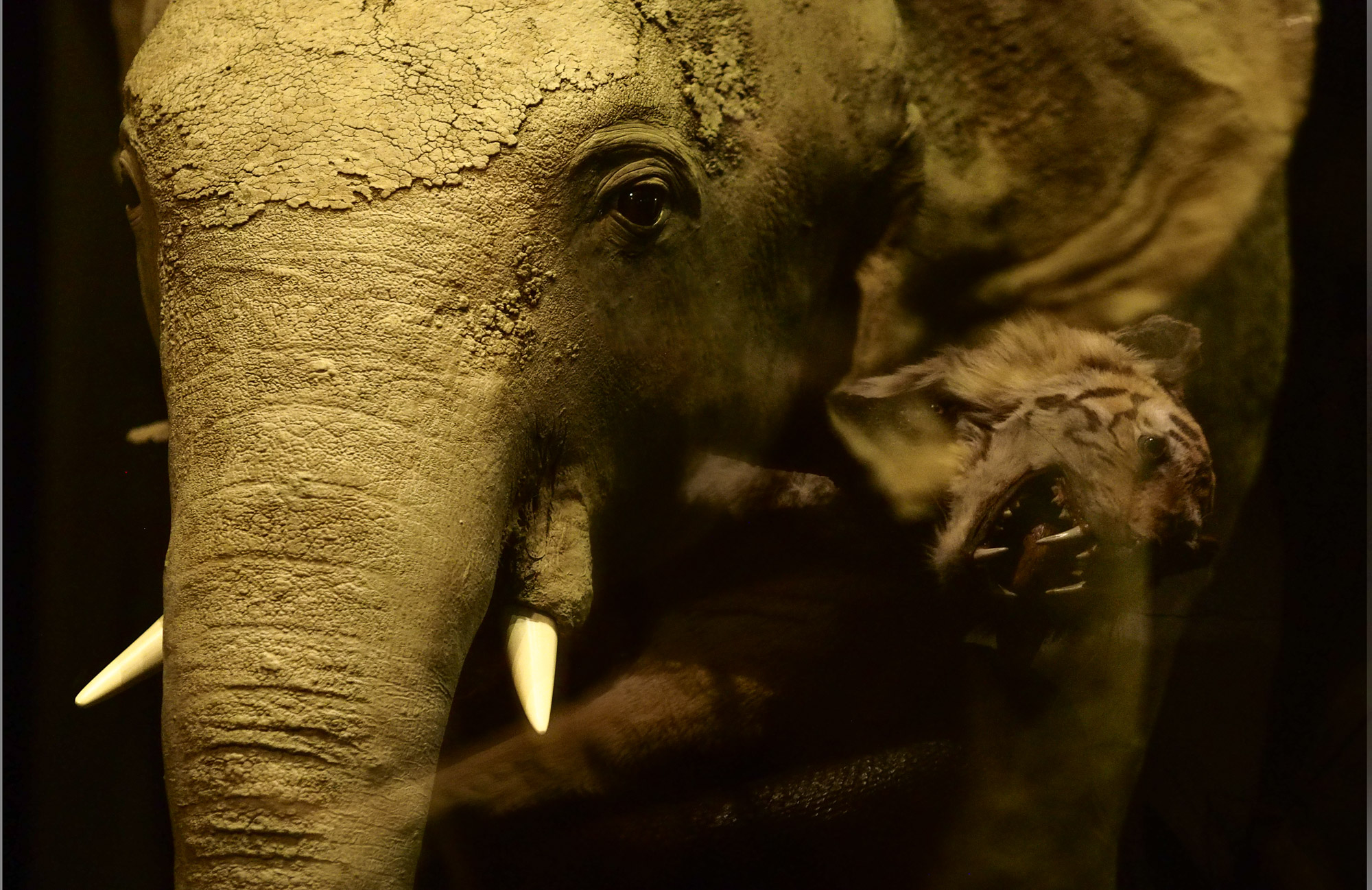 Elephant (Tiger Reflect).jpg