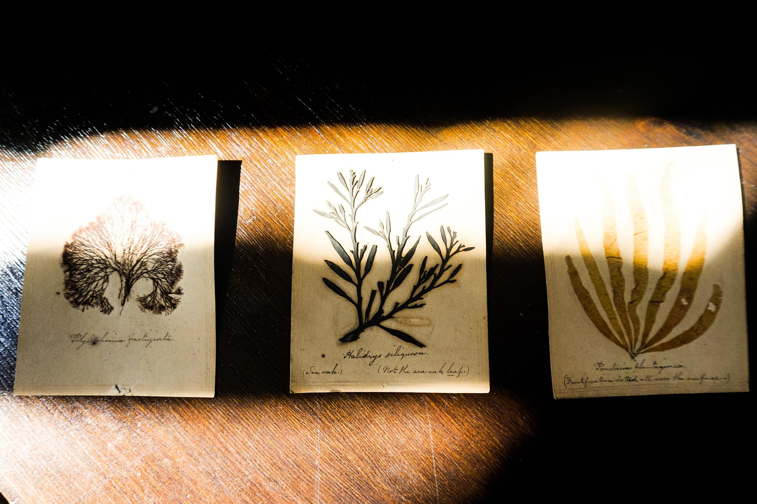 'Pressed seaweed from the Whitaker Museum collection'