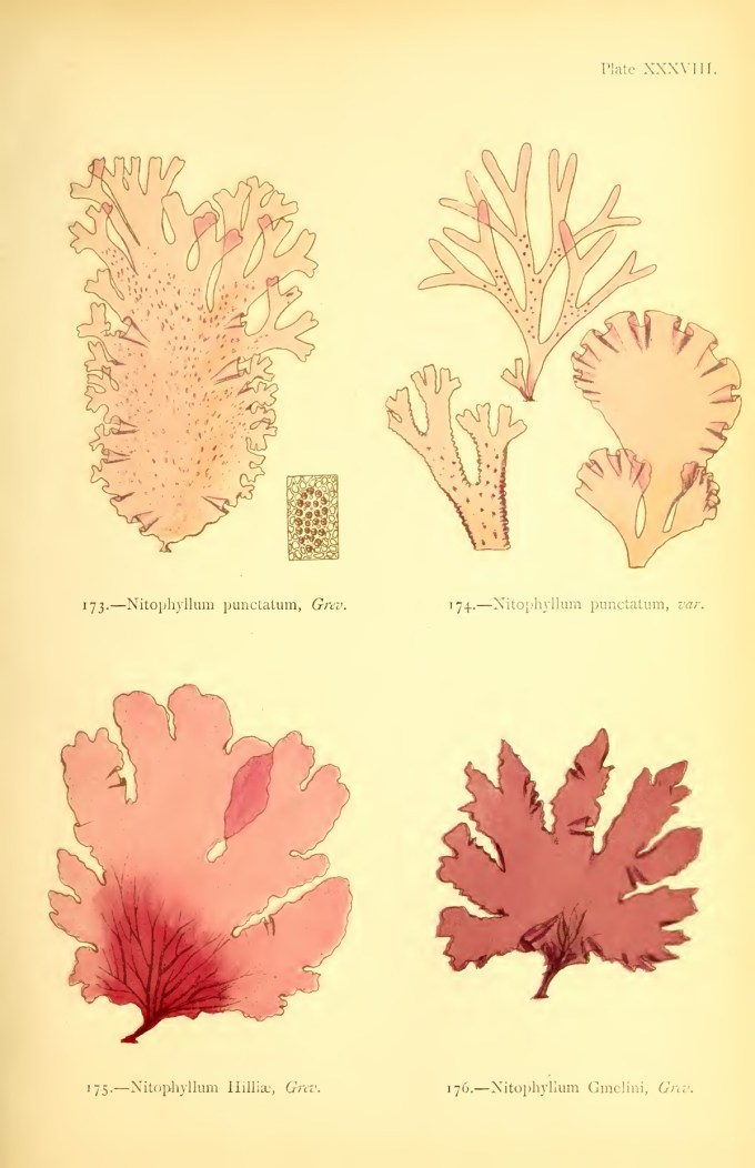 'Illustration from British Sea-Weeds 'Public Domain)'