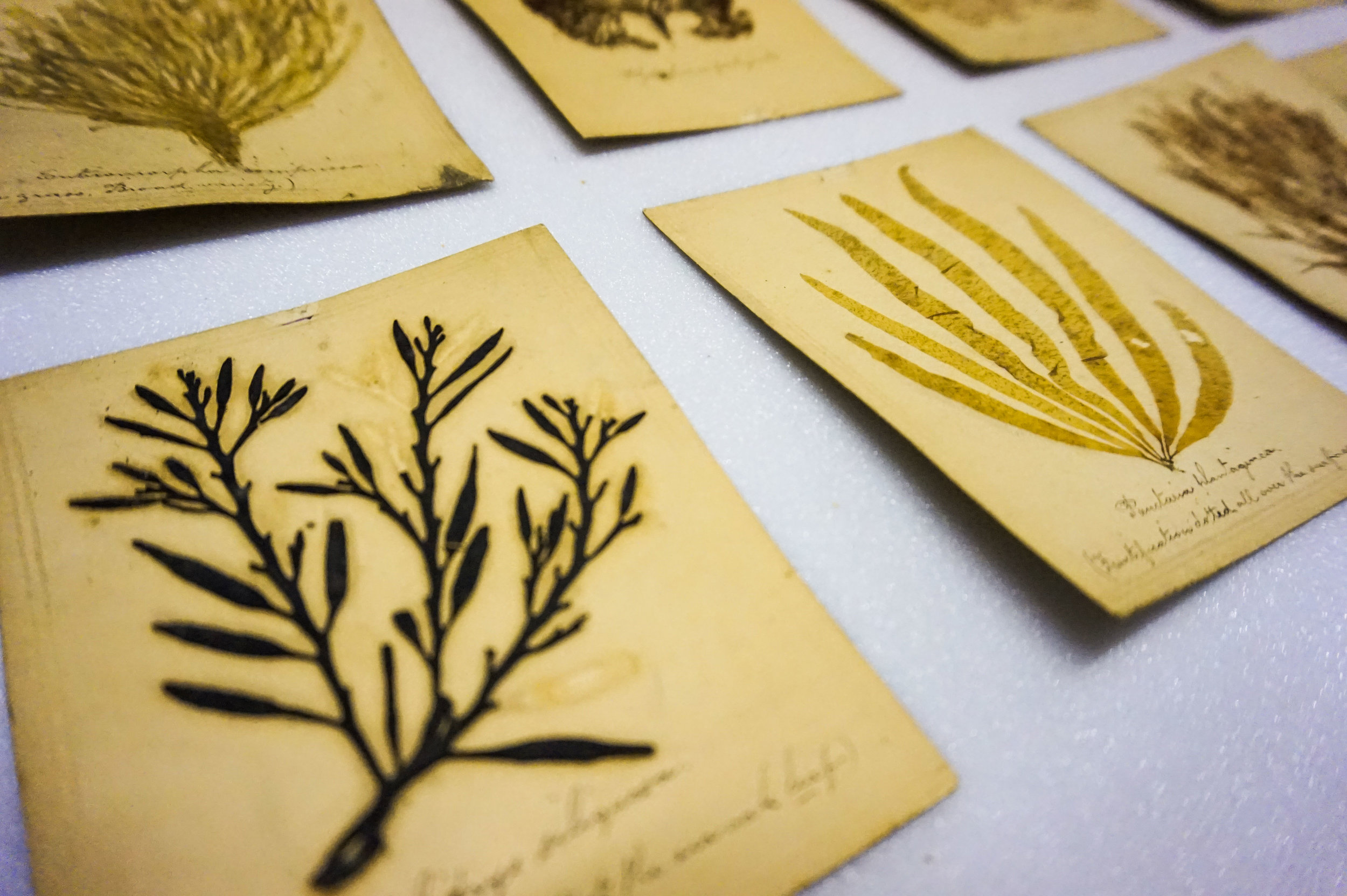 Detail: Pressed seaweed from the Whitaker Museum collection'