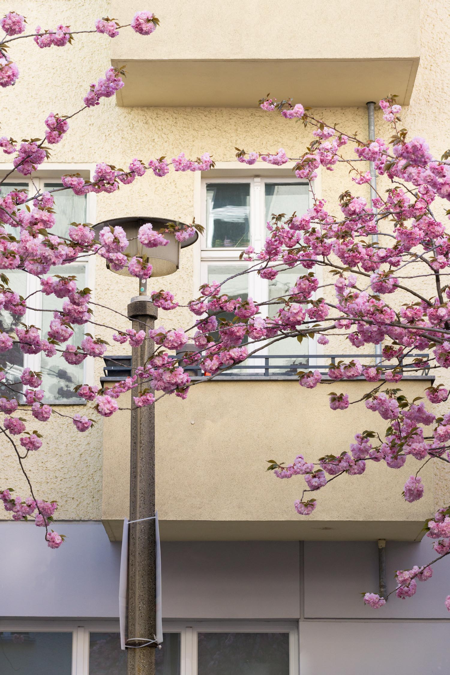 Discover the best places to experience cherry blossom season in Berlin. | Cherry Blossom Season | Berlin Travel Guide | Cherry Blossoms | Berlin Germany | Christie Moore Photography