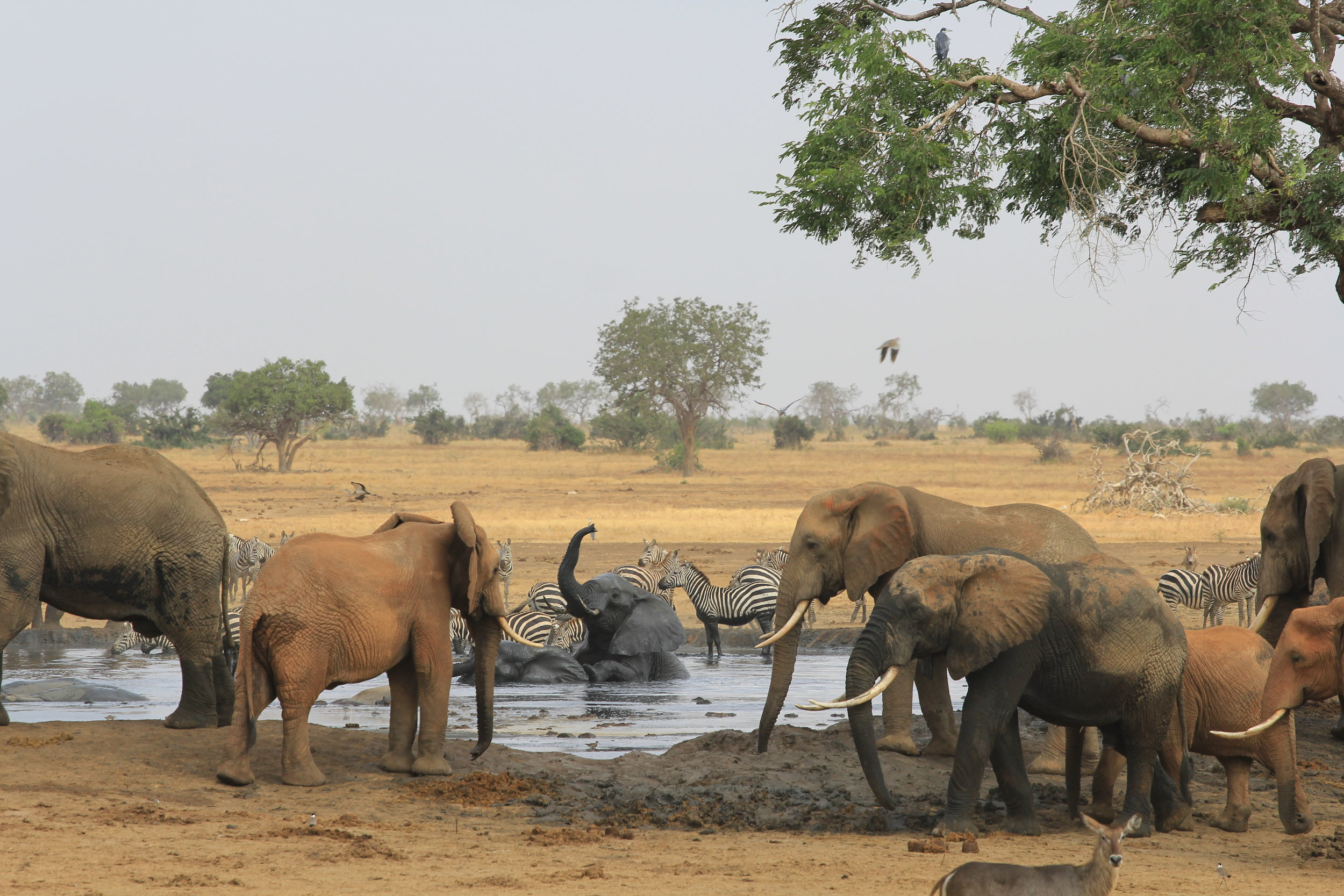 elephants at watering hole in safari