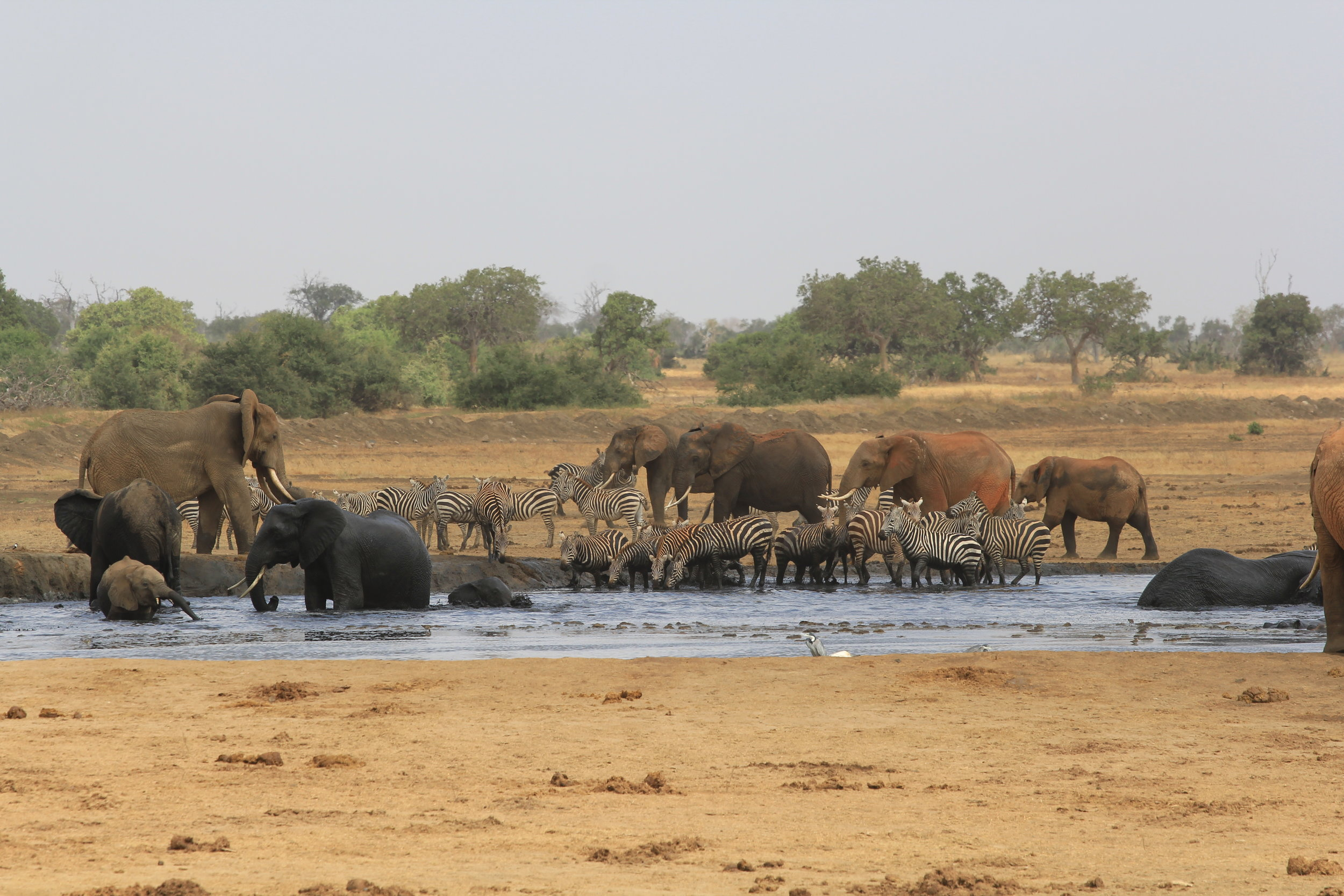 zebras art watering hole in safari