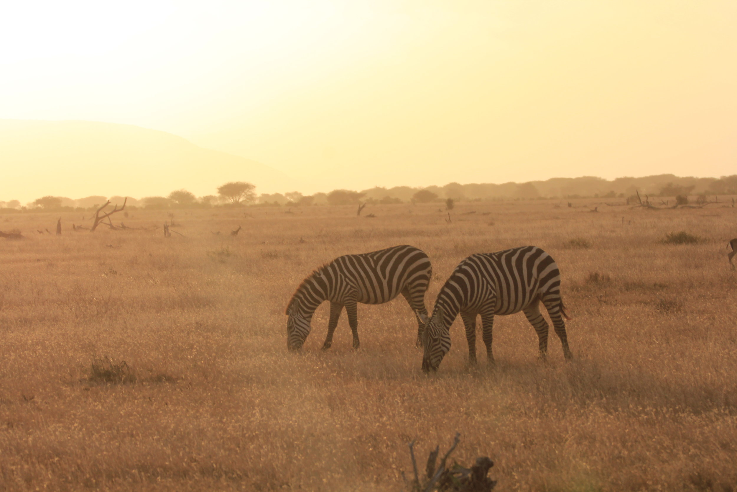 zebras in safari Tsavo East Kenya
