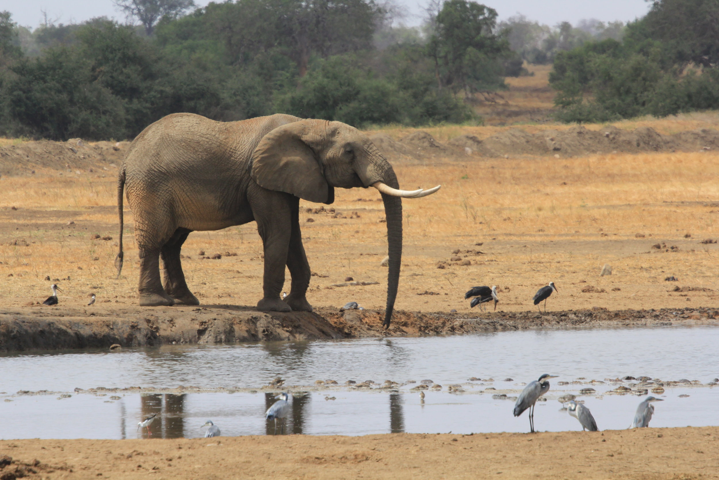 elephant at watering hole kenya
