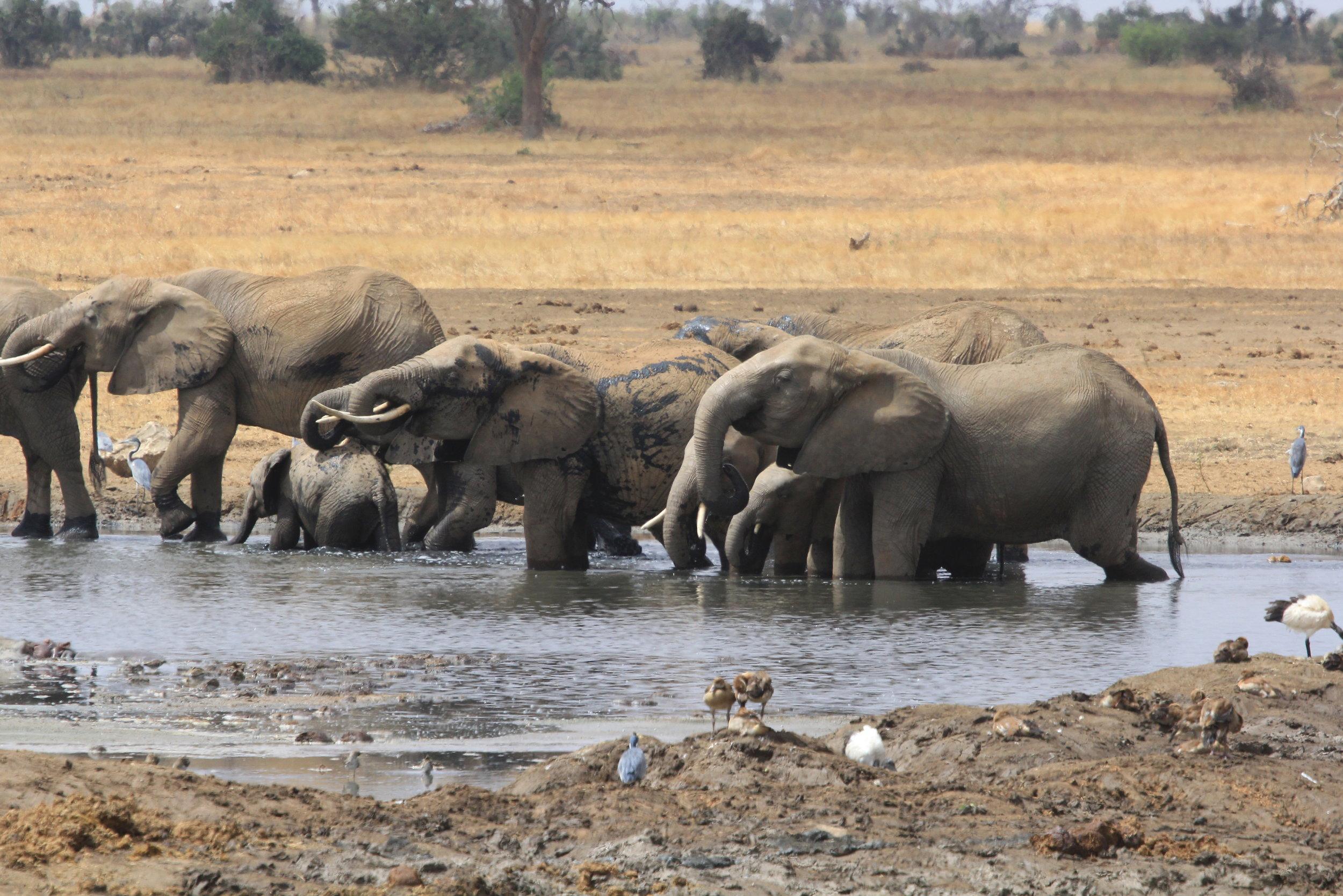elephants at watering hole Tsavo East national park