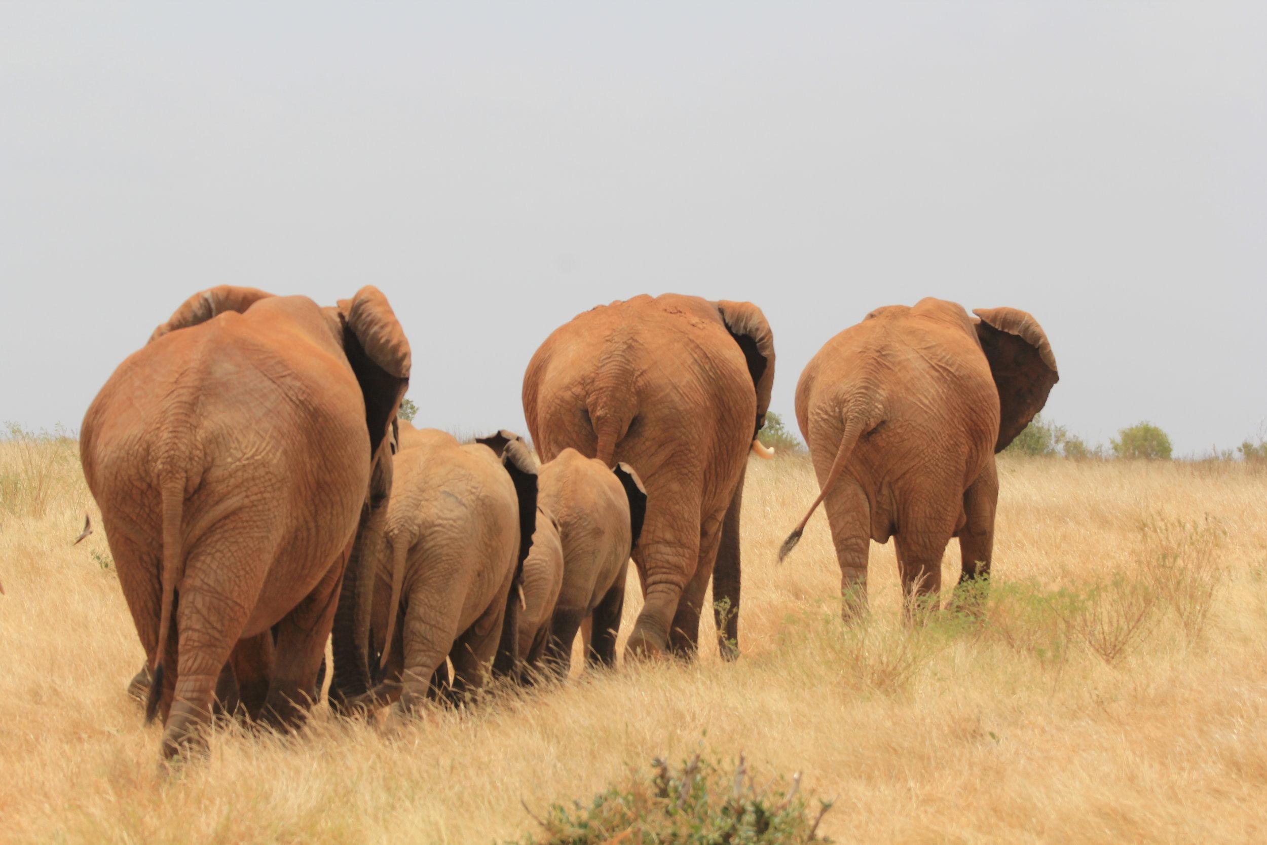 elephants in Kenya safari