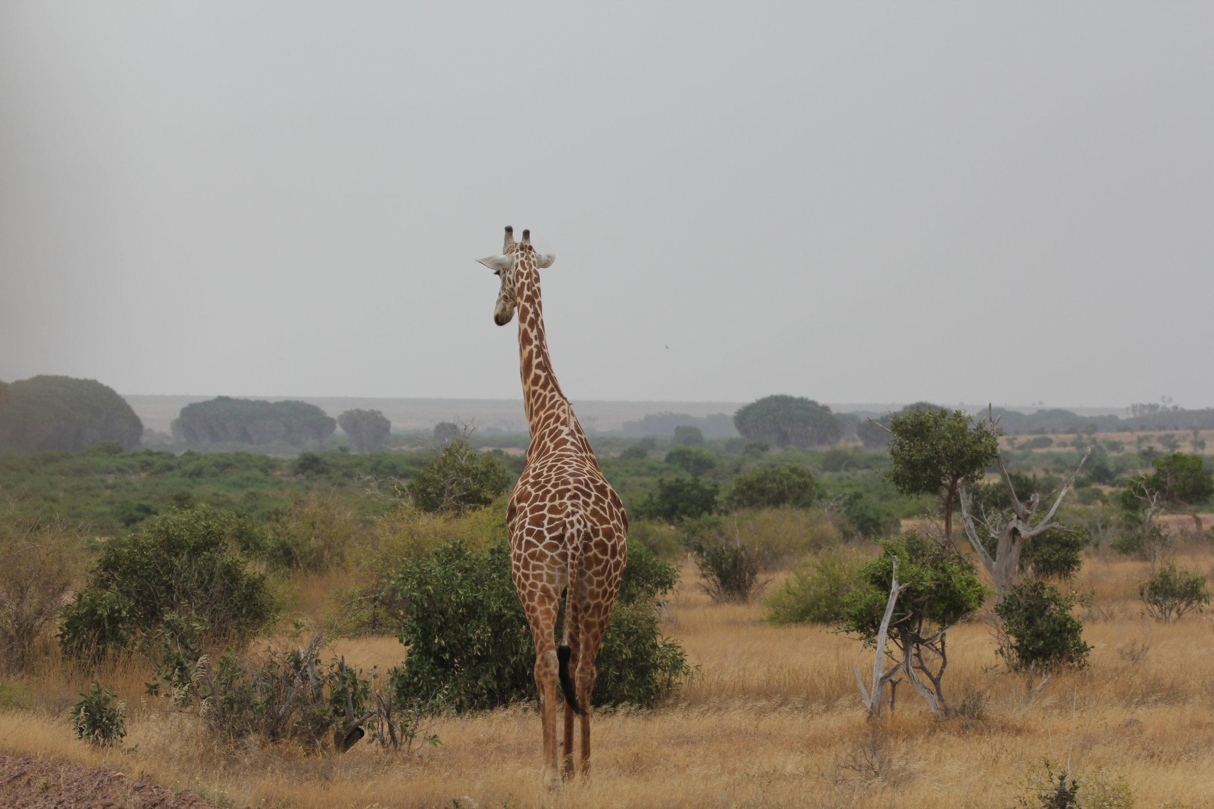 giraffe at tsavo east national park