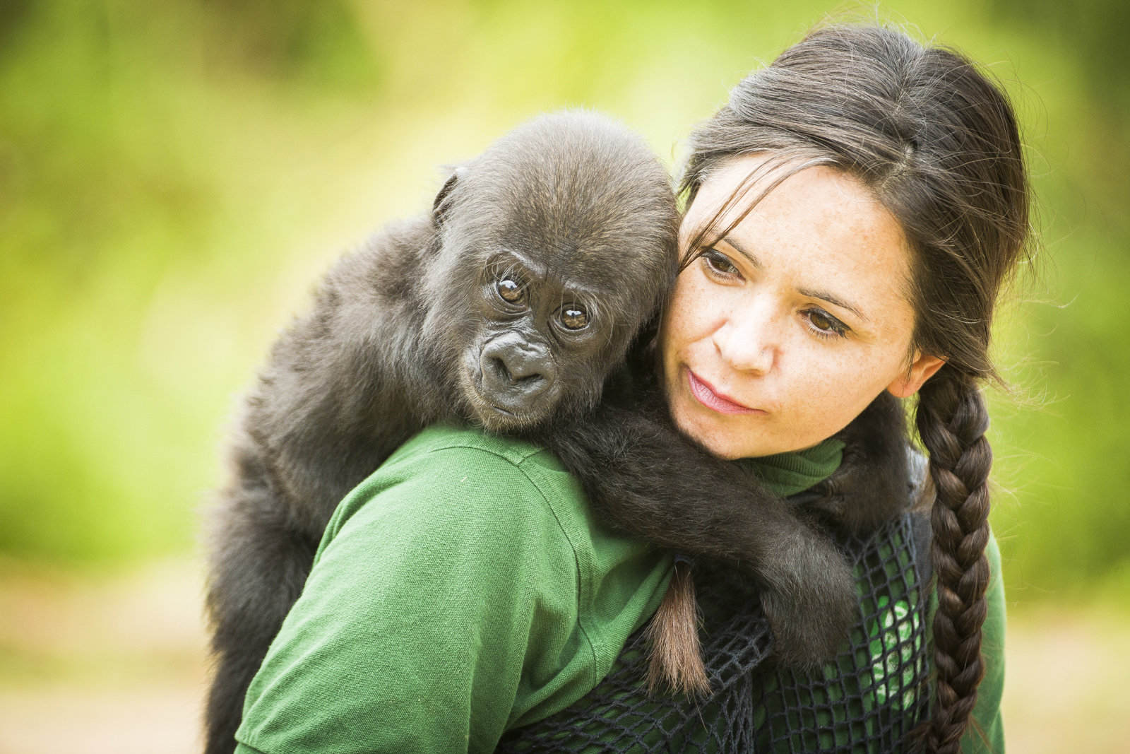 Afia, a six month old Gorilla at Bristol Zoo plays with her keeper Joanne Rudd.