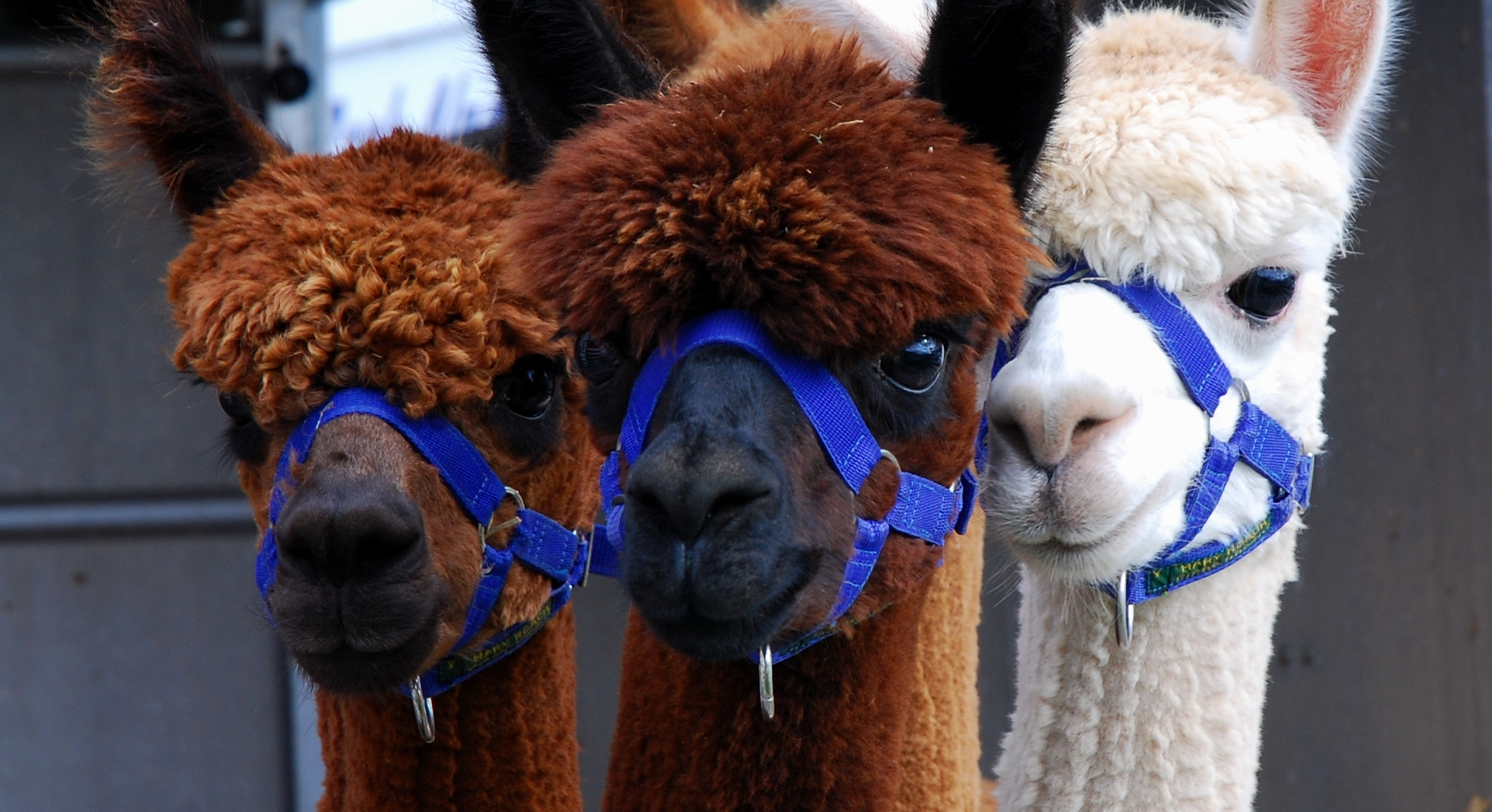 Alpacas, Peebles Show