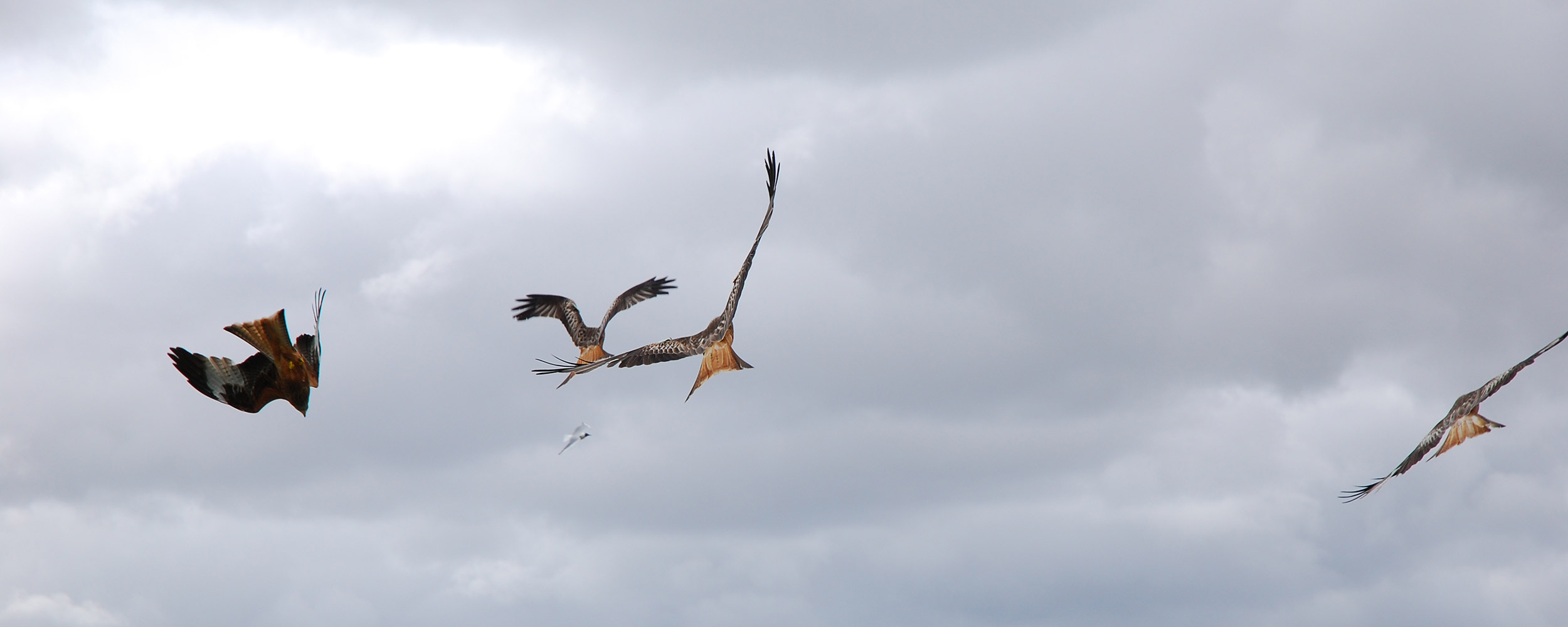 14.-Red-kite-feeding-station,-Dumfries-&-Galloway.jpg