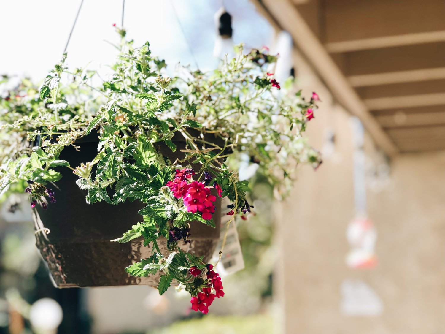 5. Flower Baskets - preferably with bright tube like flowers, just until the hummingbirds find your place, then you can put the bright colored plants wherever you want!. I recently found this plant at Lowes for $5 in the clearance section because it was dried out!