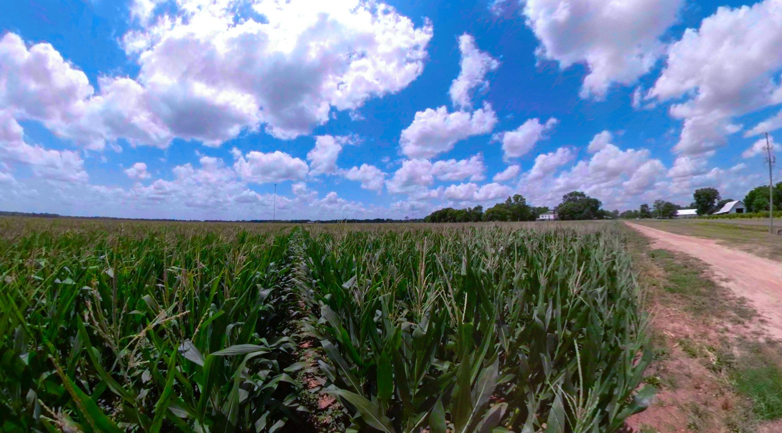 Cornfield at Lynn Farms on Hwy 3049.