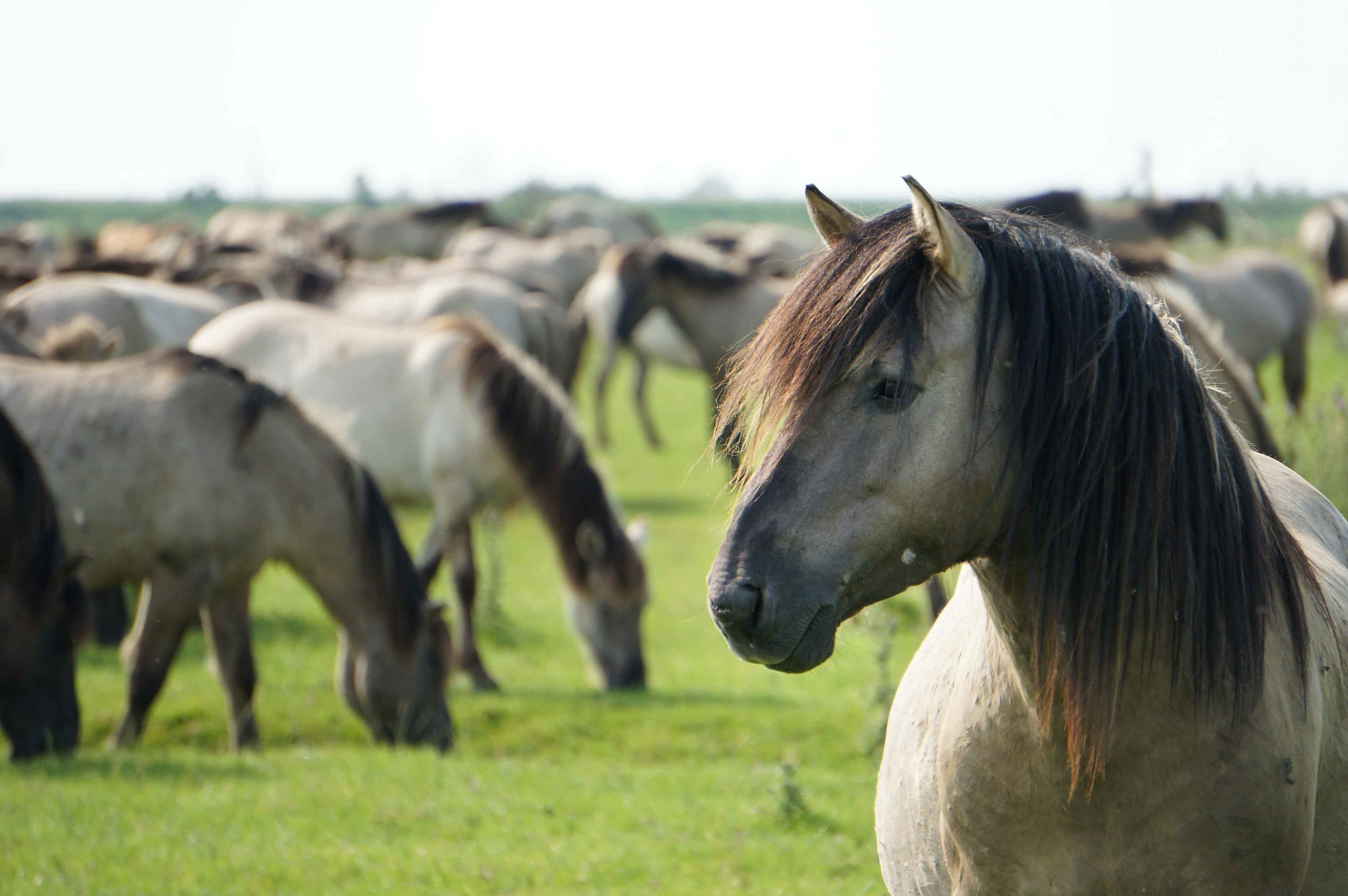Wild horses at Oostvaardersplassen, Netherlands