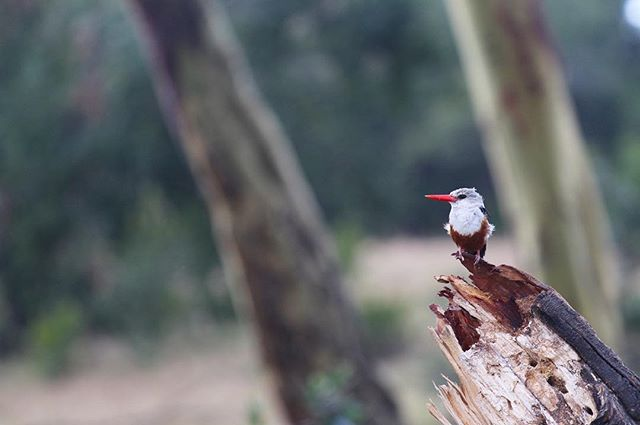 There is nothing better than a bush walk; to hear the birds calling in the trees in the early morning and the smell of fresh dew on the grass. A beautiful kingfisher in search of a morning meal 🍂