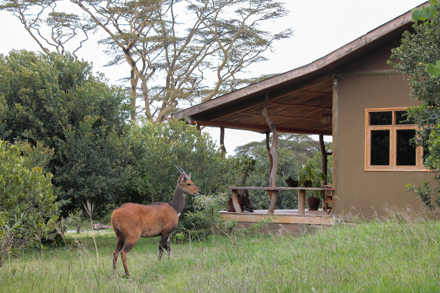 Bushbuck and C2.jpg