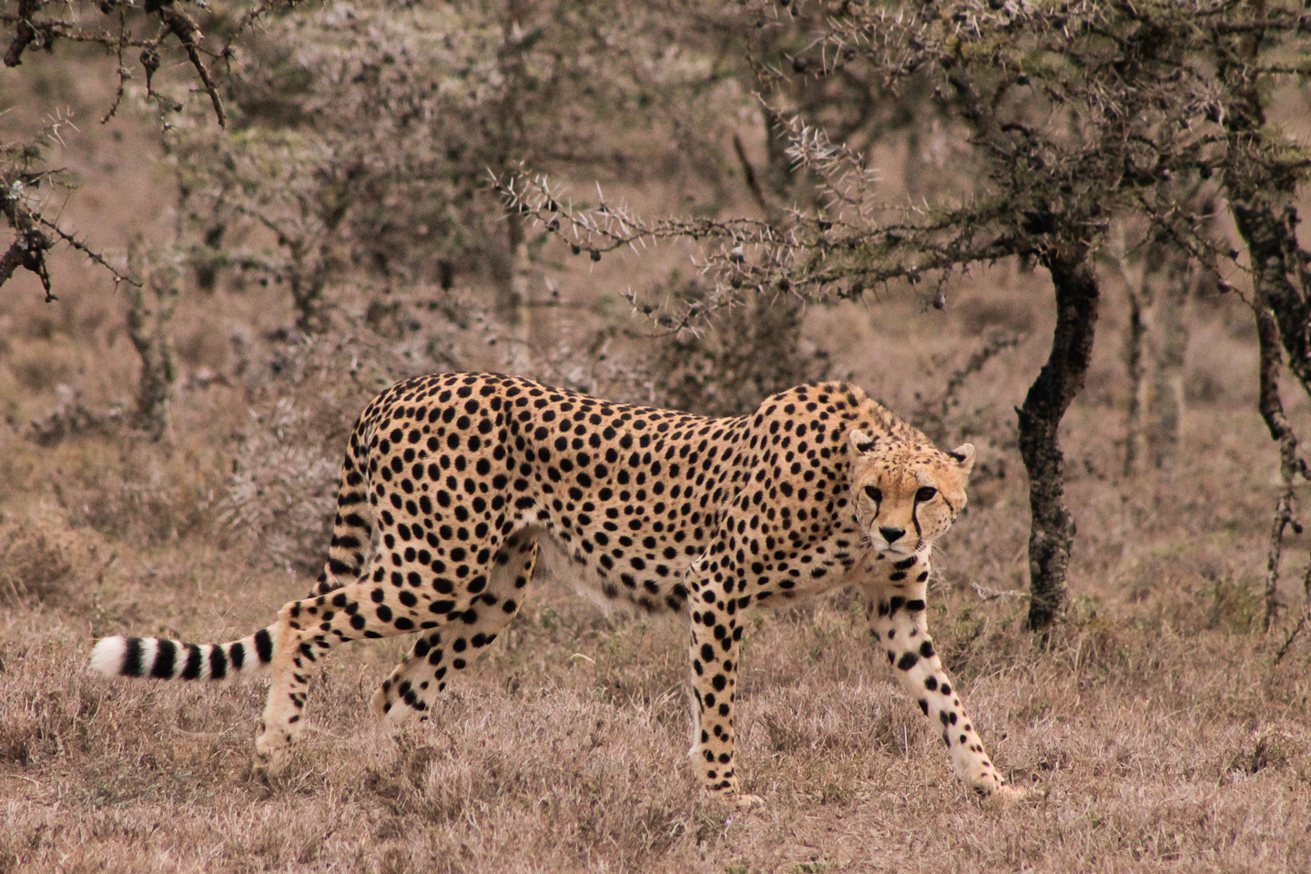A very special cheetah sighting