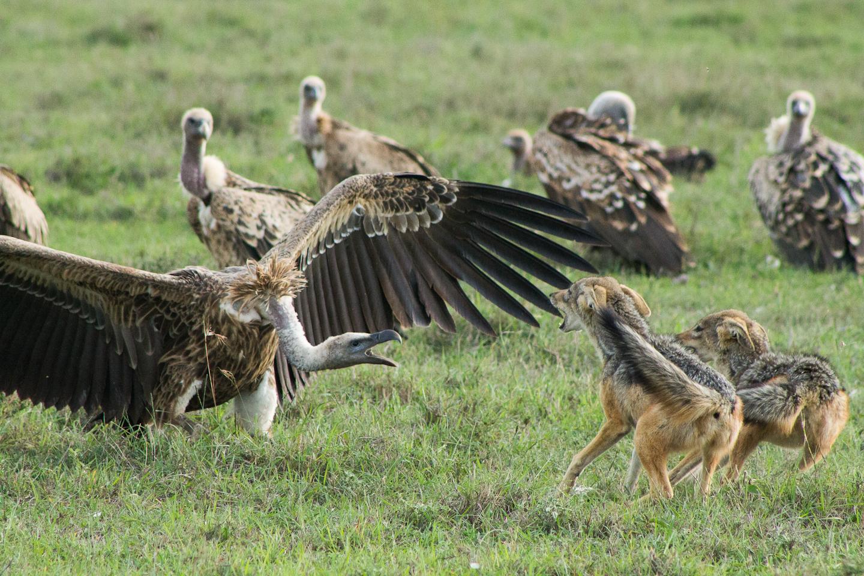 LR jackals and vulture.jpg