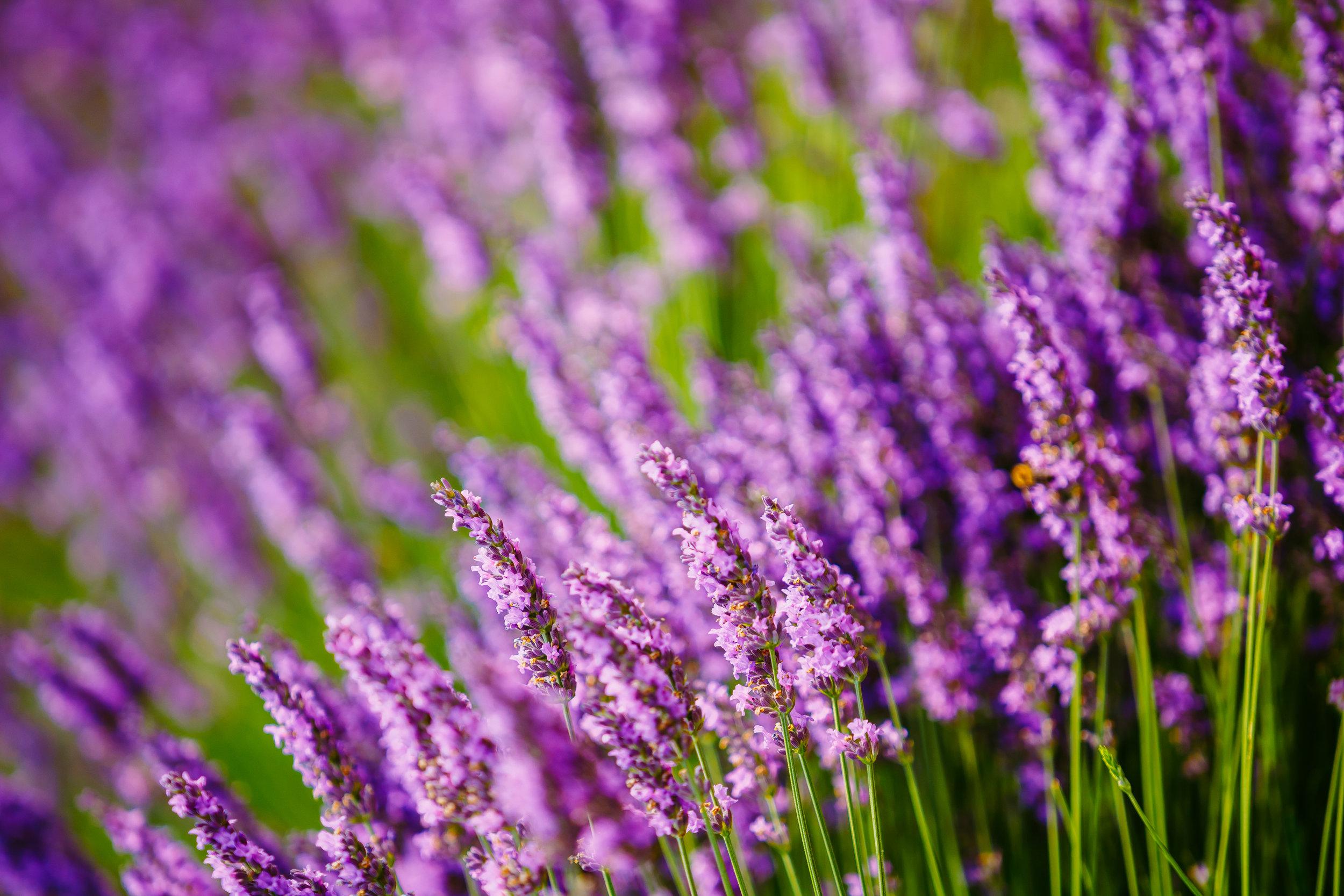 beautiful-blooming-lavender-flowers-summer-season-P4FXAJ7.jpg