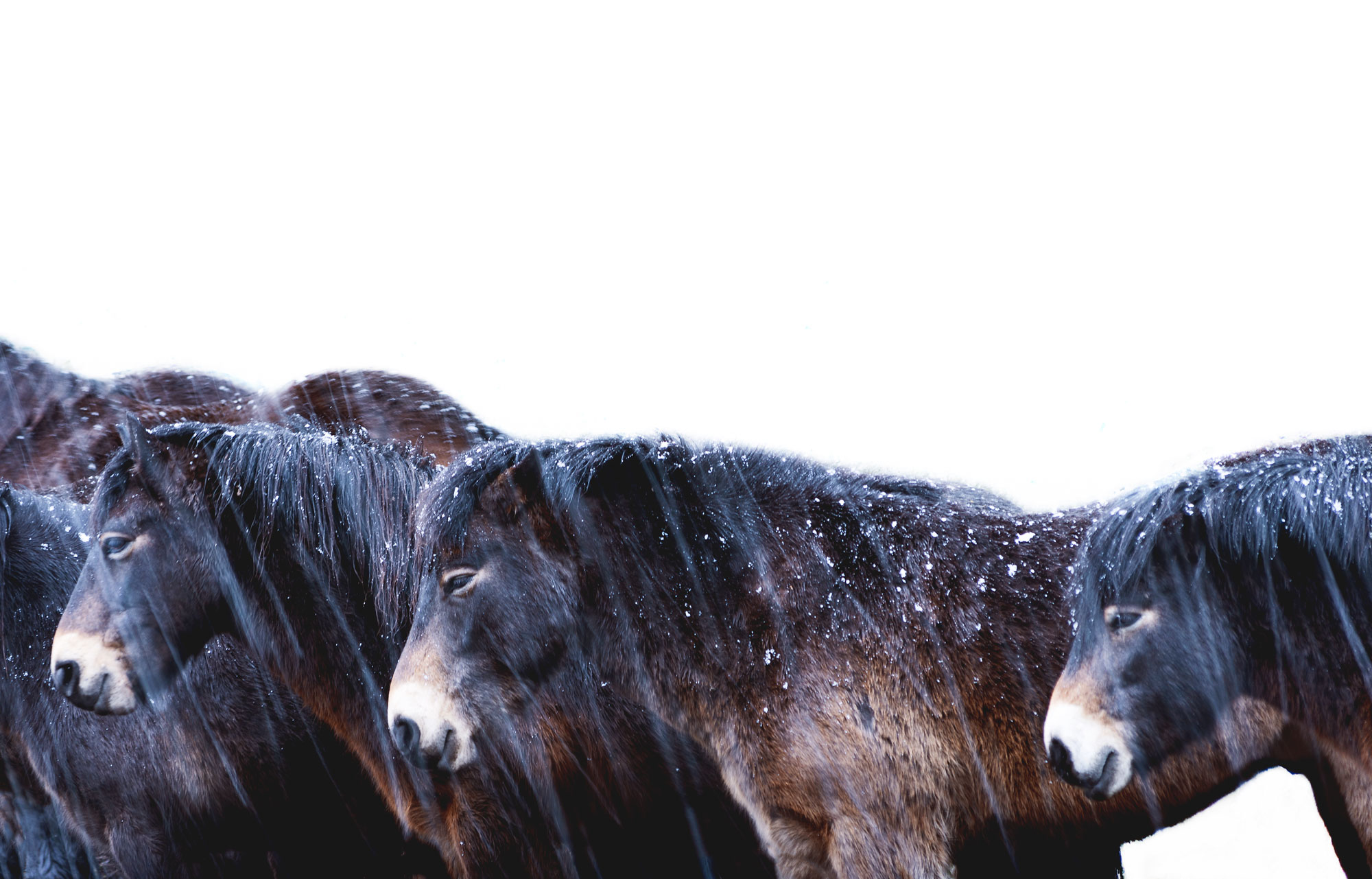 Exmoor Ponies January 2018 (click to enlarge)