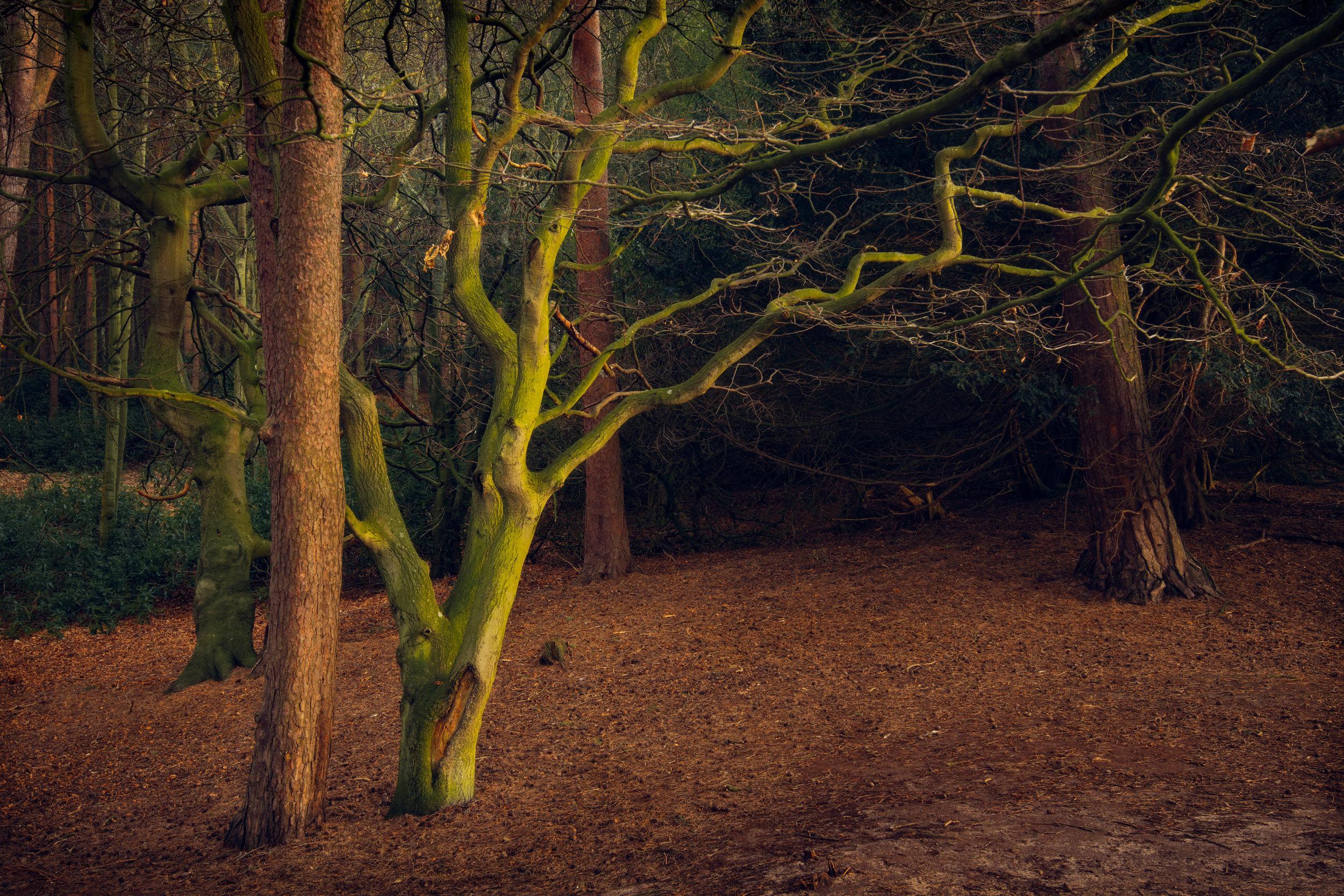 Tyninghame Tree