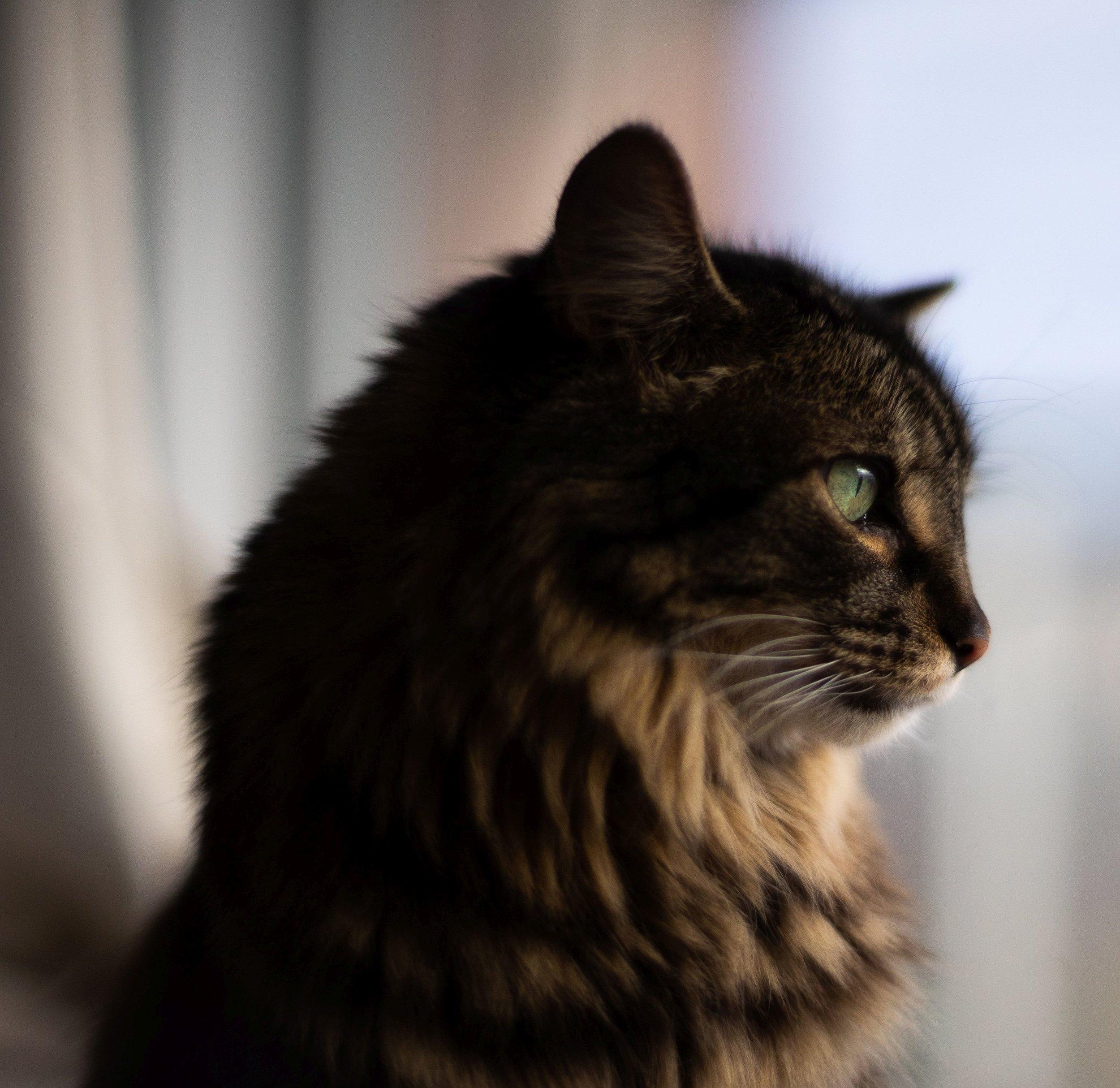 soft-black-and-brown-cat_4460x4460.jpg