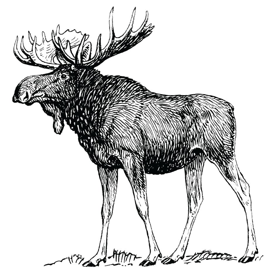 4-moose.png