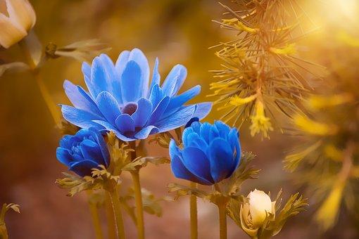 anemone-2396299__340.jpg