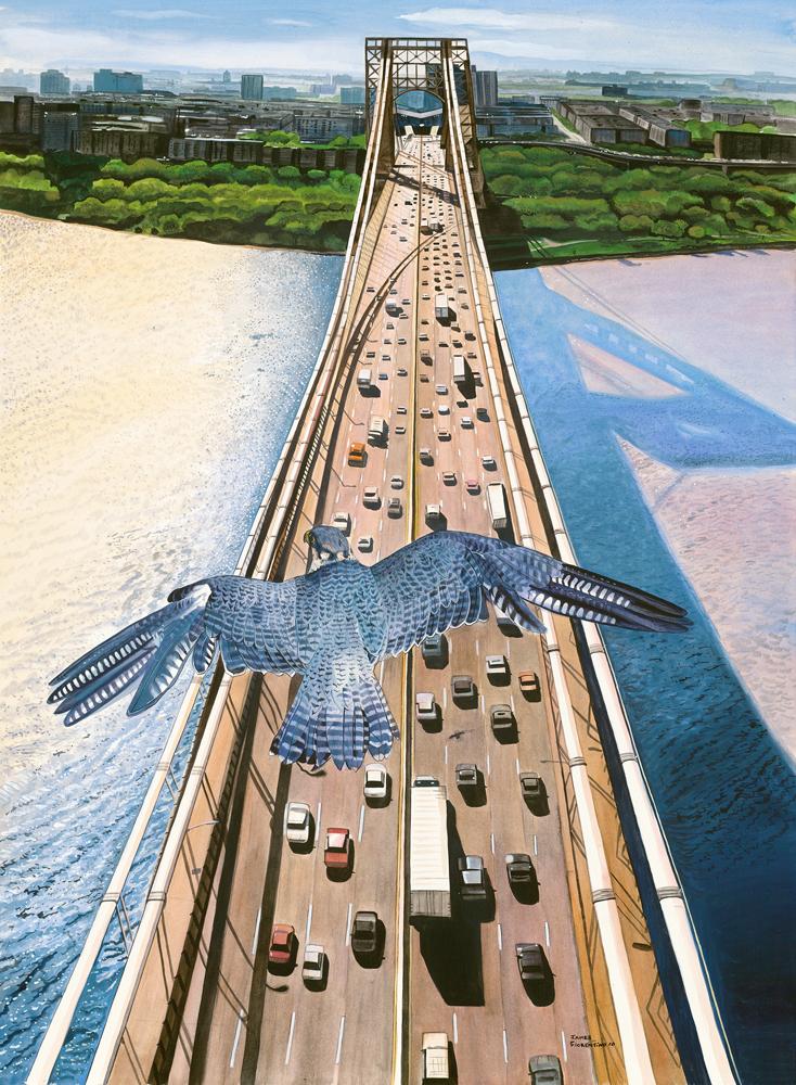 Soaring-Peregrine Falcon flying over GW Bridge -NJ
