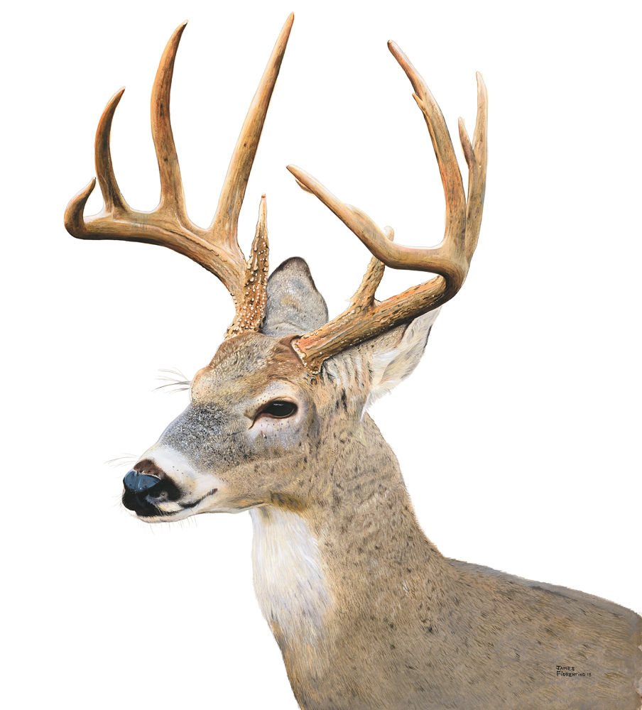 Portrait of a Buck In Snow