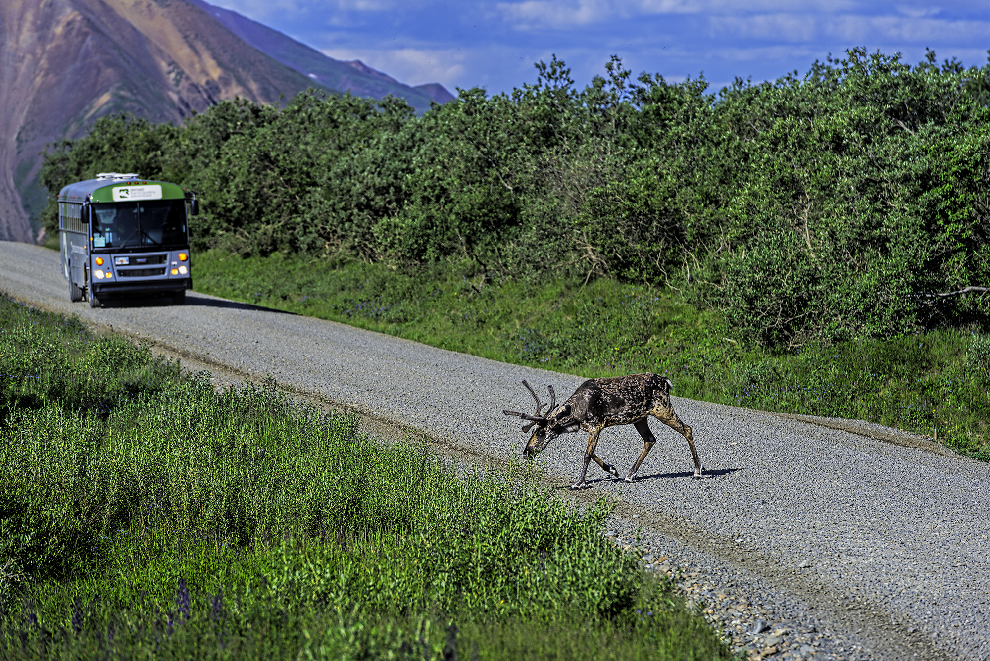 Caribou spotted on the road to Kantishna
