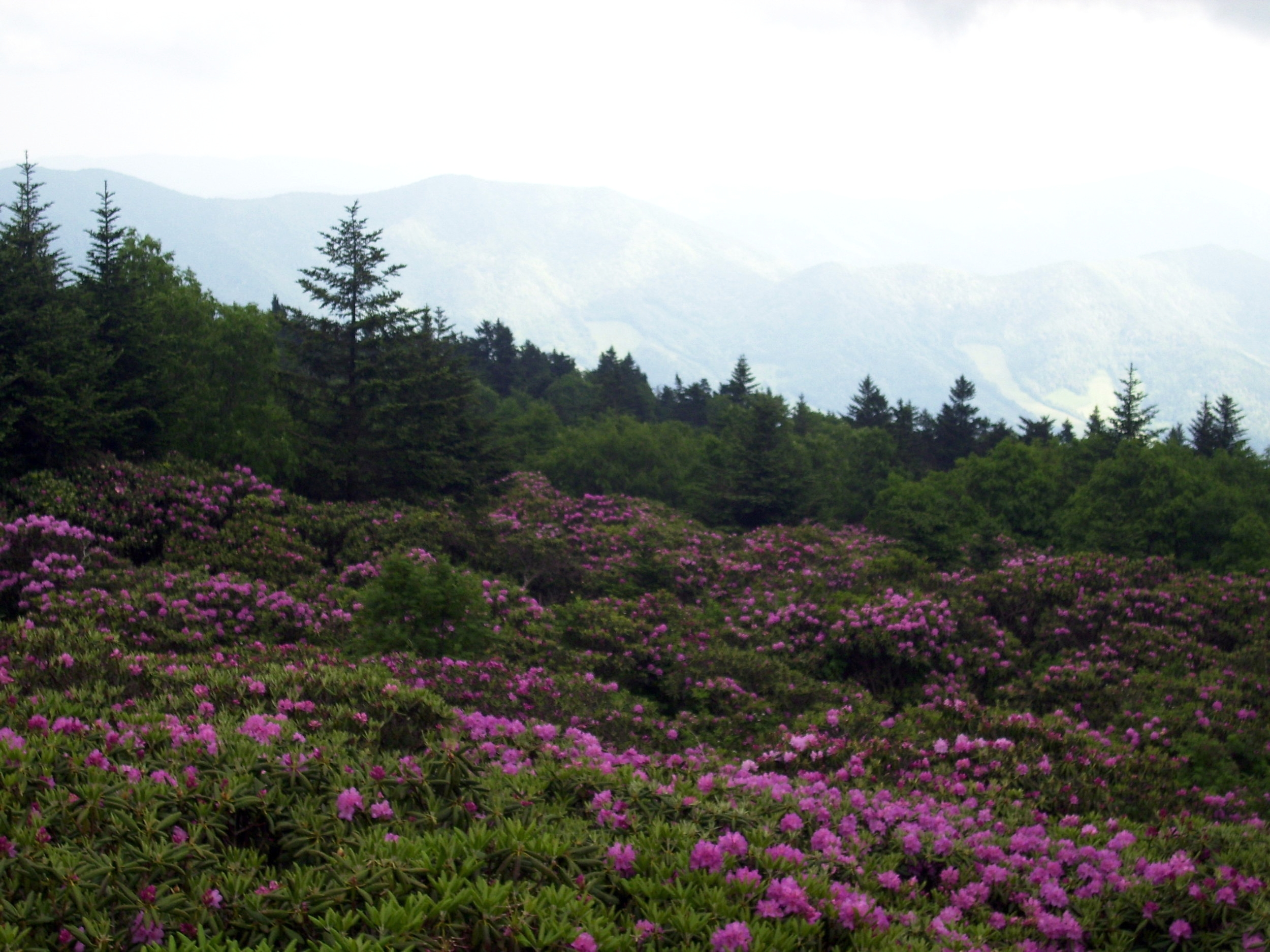 The rhododendron gardens at Roan Mountain are among the largest collections of the Catawba variety anywhere in the world.