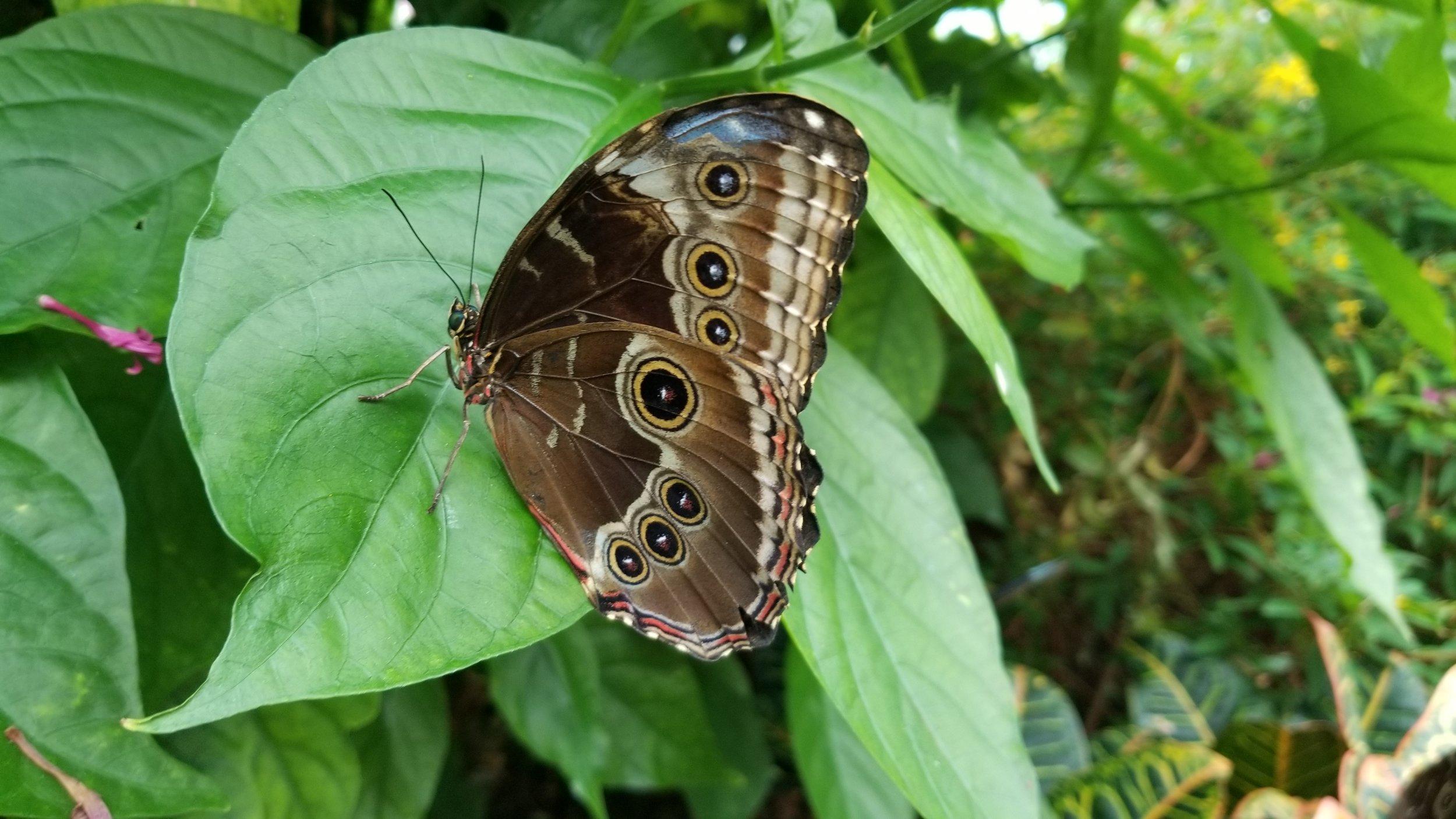 Reiman Gardens - Butterflies