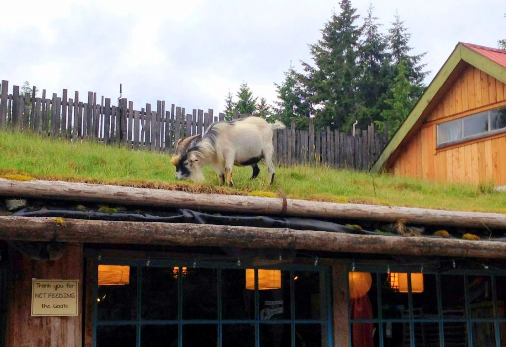 coombs-goats-on-the-roof-2-Medium-1024x702.jpg