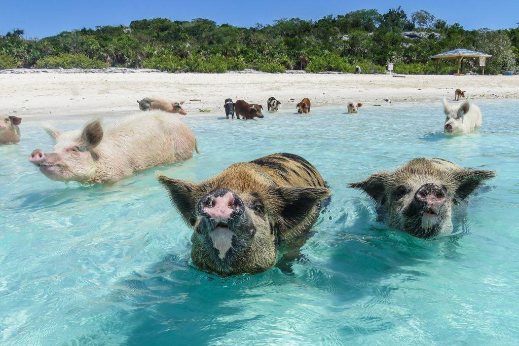 exuma-pigs-tour-bahamas-1024x683.jpg