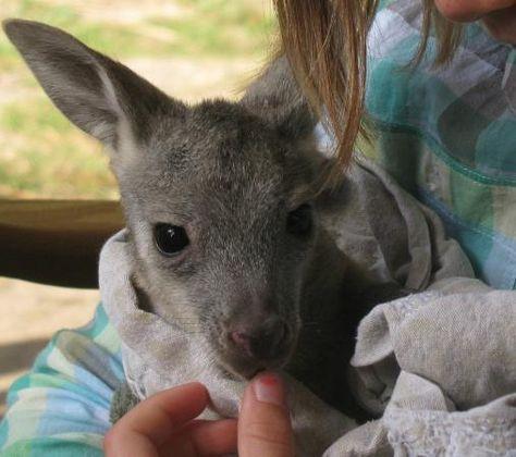 6a8f43d8822e1dcf367d7b63b48d4484--trave-kangaroos.jpg