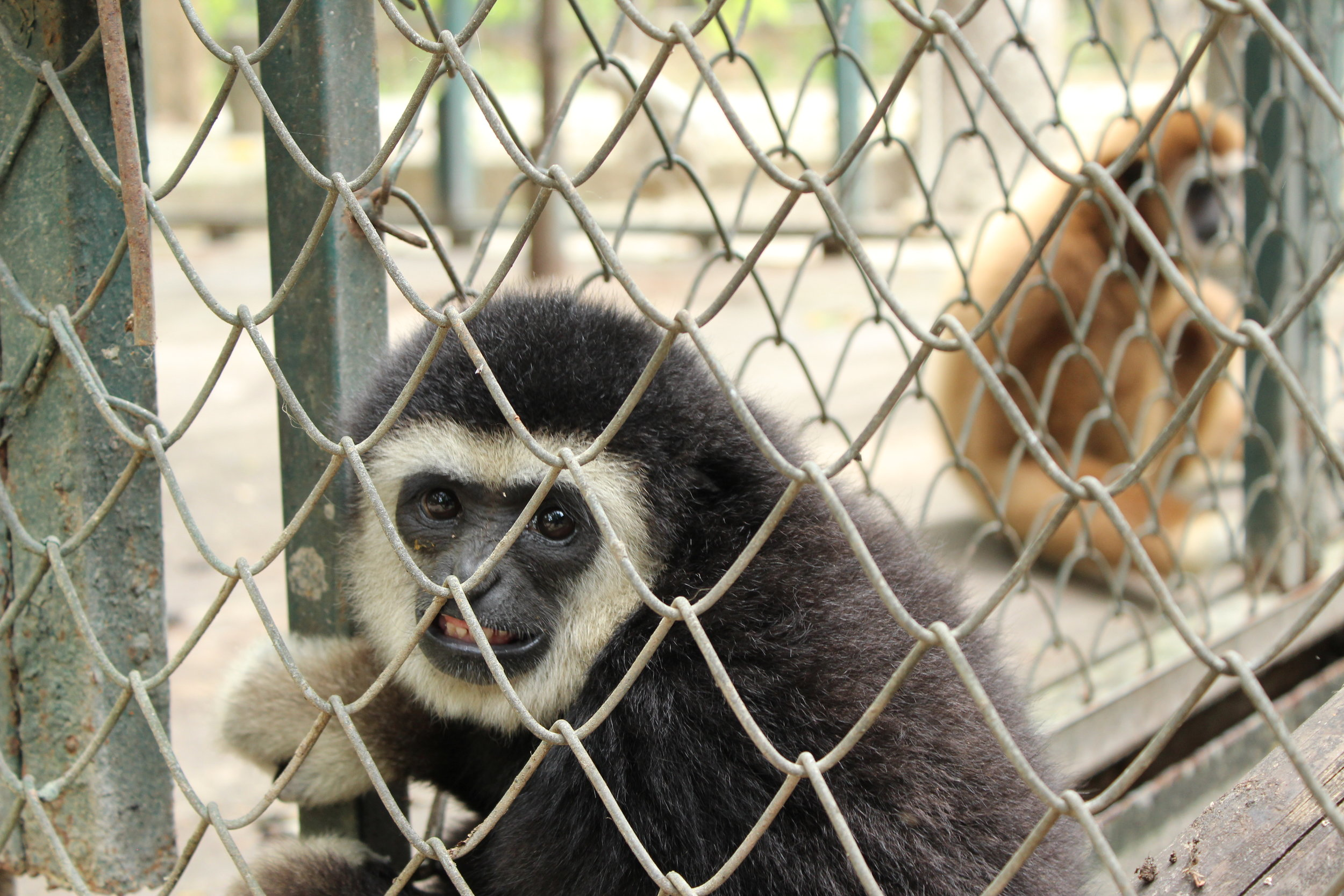 Juvenile gibbons, like the one giving me the stank eye here, were particularly lively and required special attention.