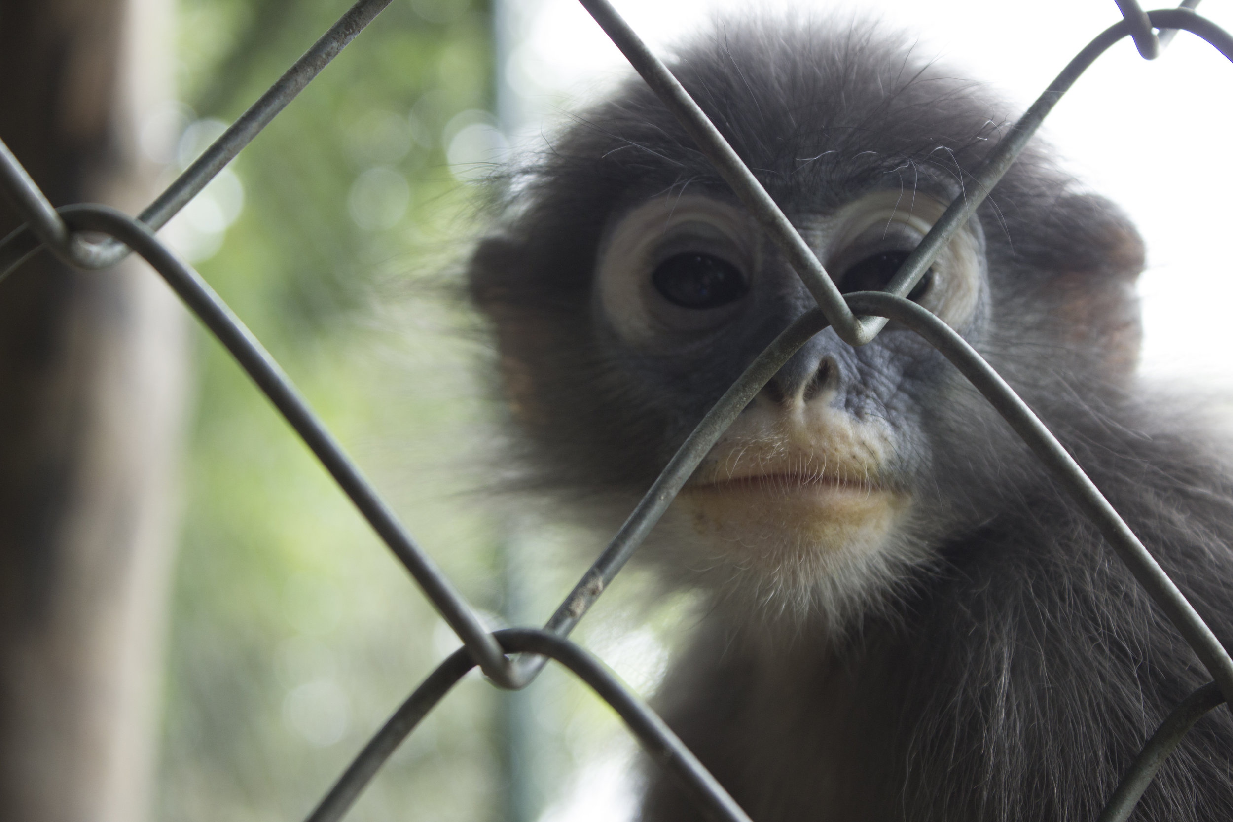 Baby langur monkeys required additional enrichments, like sunflower seeds stuck into corn cobs, to stimulate their growing minds.