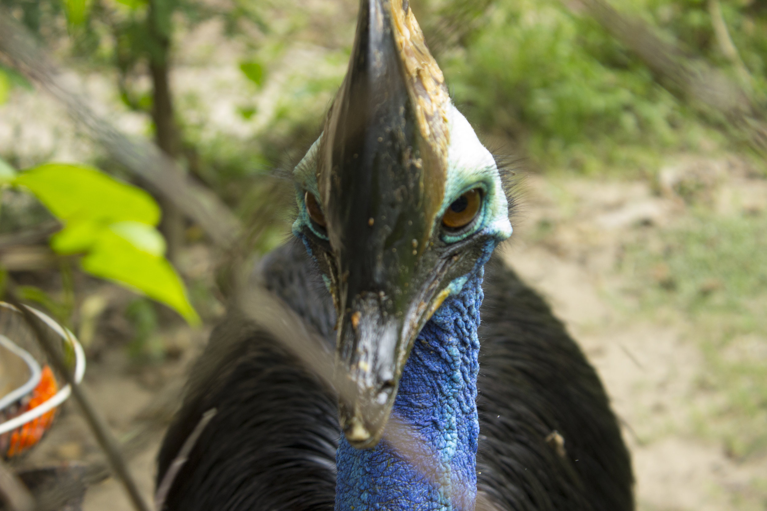 Many animals, like this cassowary, were once kept as exotic pets and then either given away or abandoned when the burden became too much. This cassowary, a long way from its native habitat, had suffered brain damage after improper handling of its delicate, hollow crest.