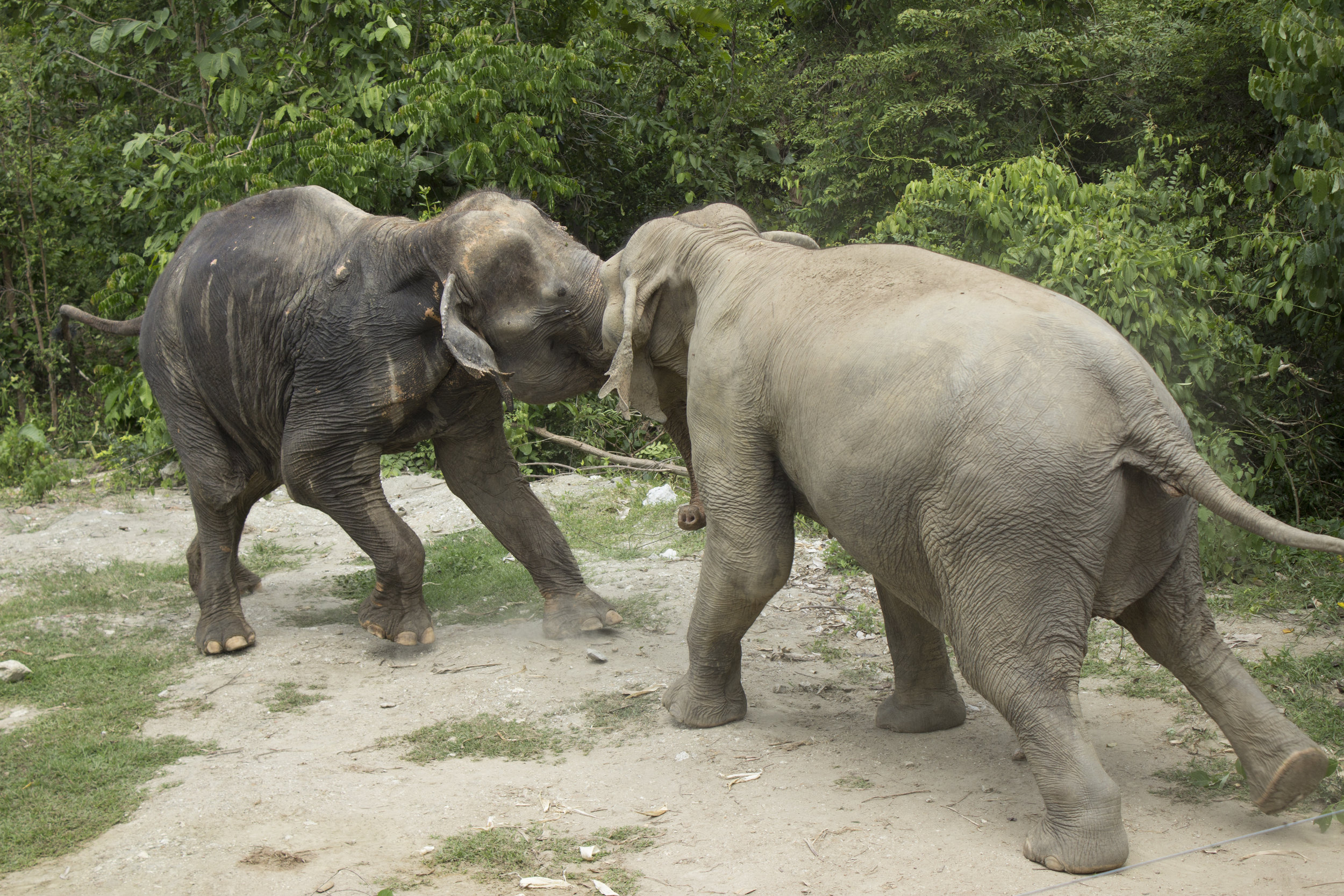 While I was there, we started to safely introduce the elephants to each other in a new, larger enclosure. Establishing a tight family herd was critical for such social creatures.