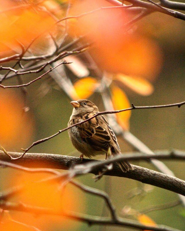 Sparrow in Central Park #centralparkmoments #NYC #iloveny #instagramnyc #seeyourcity #autumnleaves #nycfall