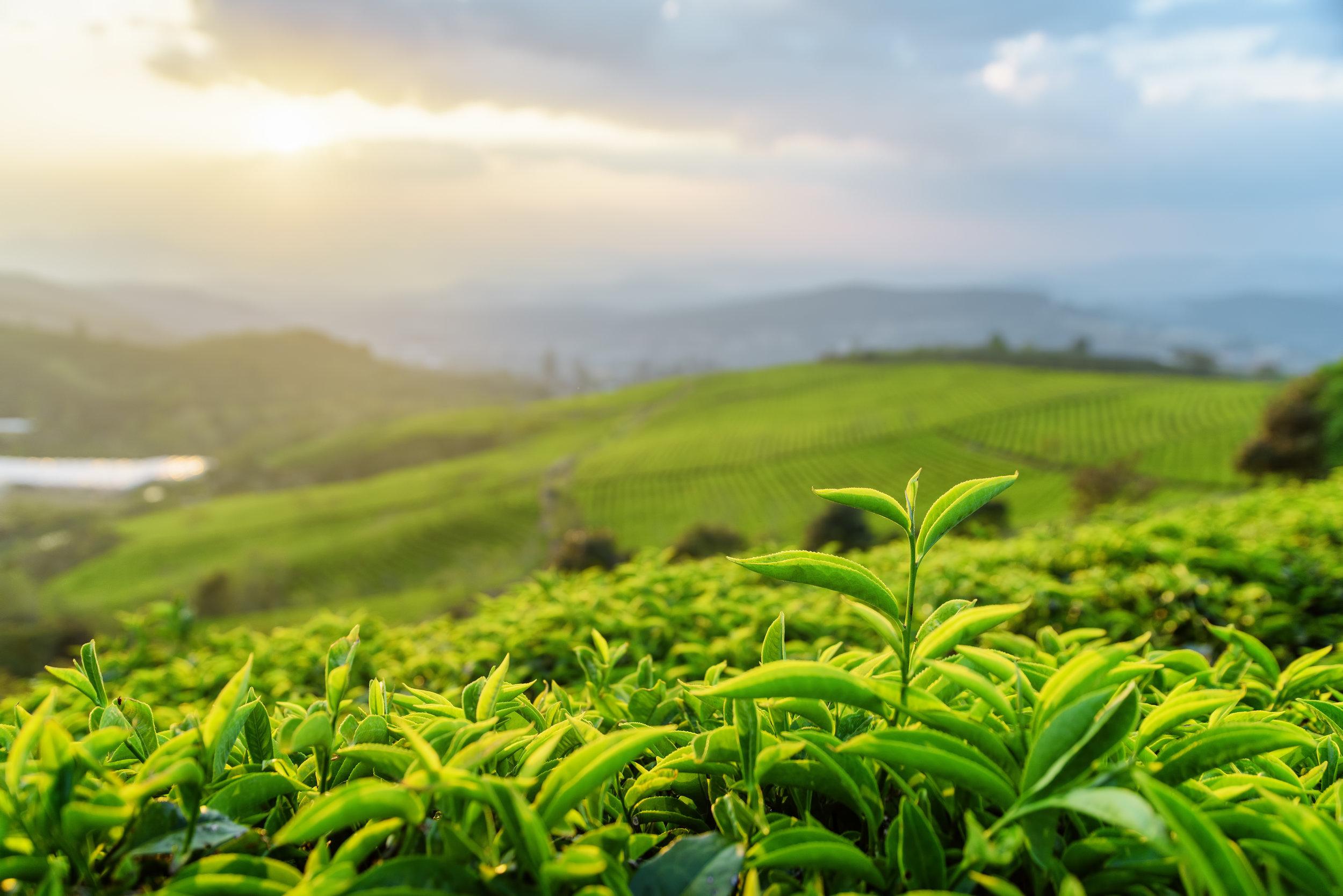 bigstock-Closeup-View-Of-Tea-Leaves-At--180043093.jpg
